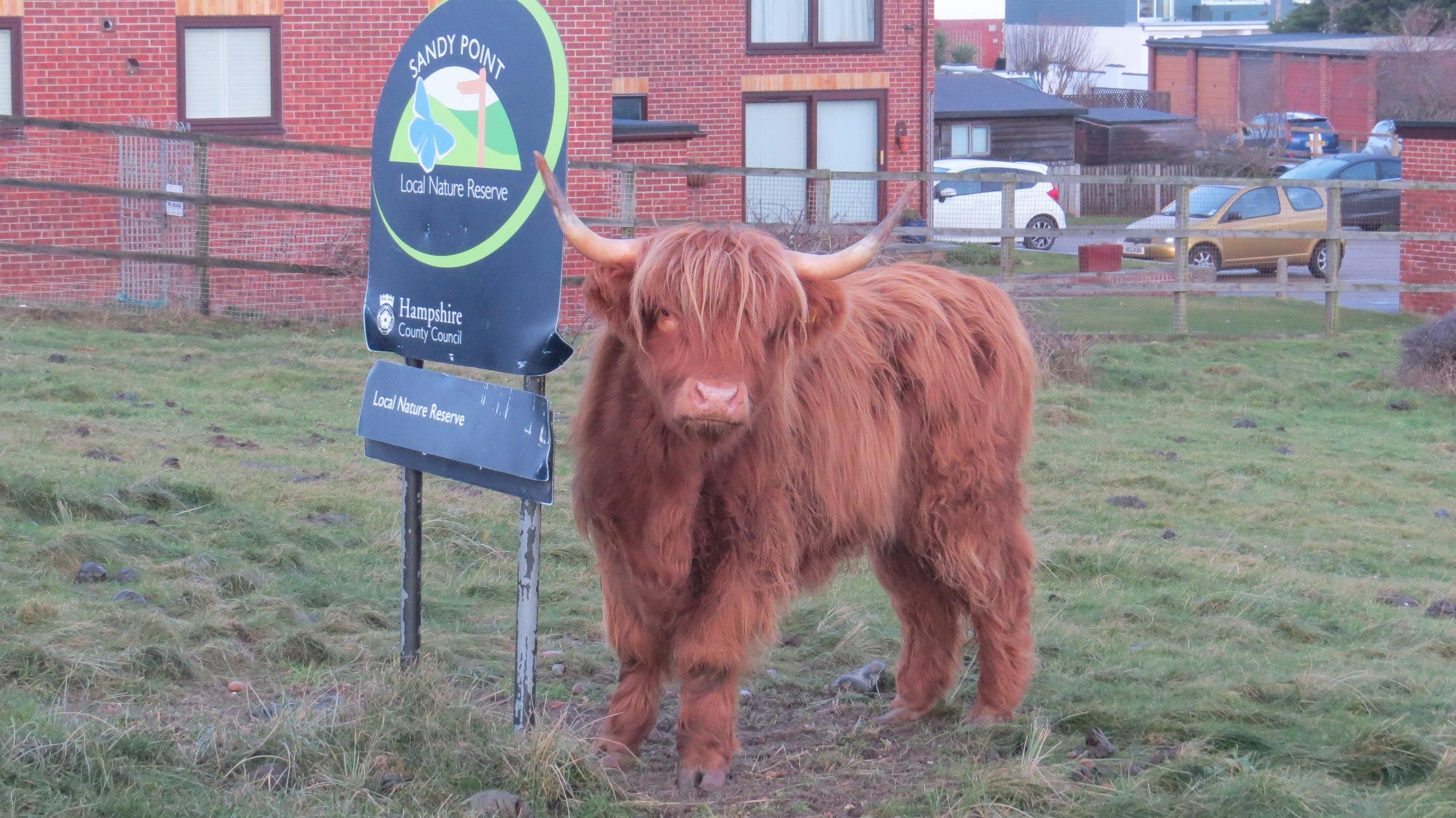 Unimpressed Cow