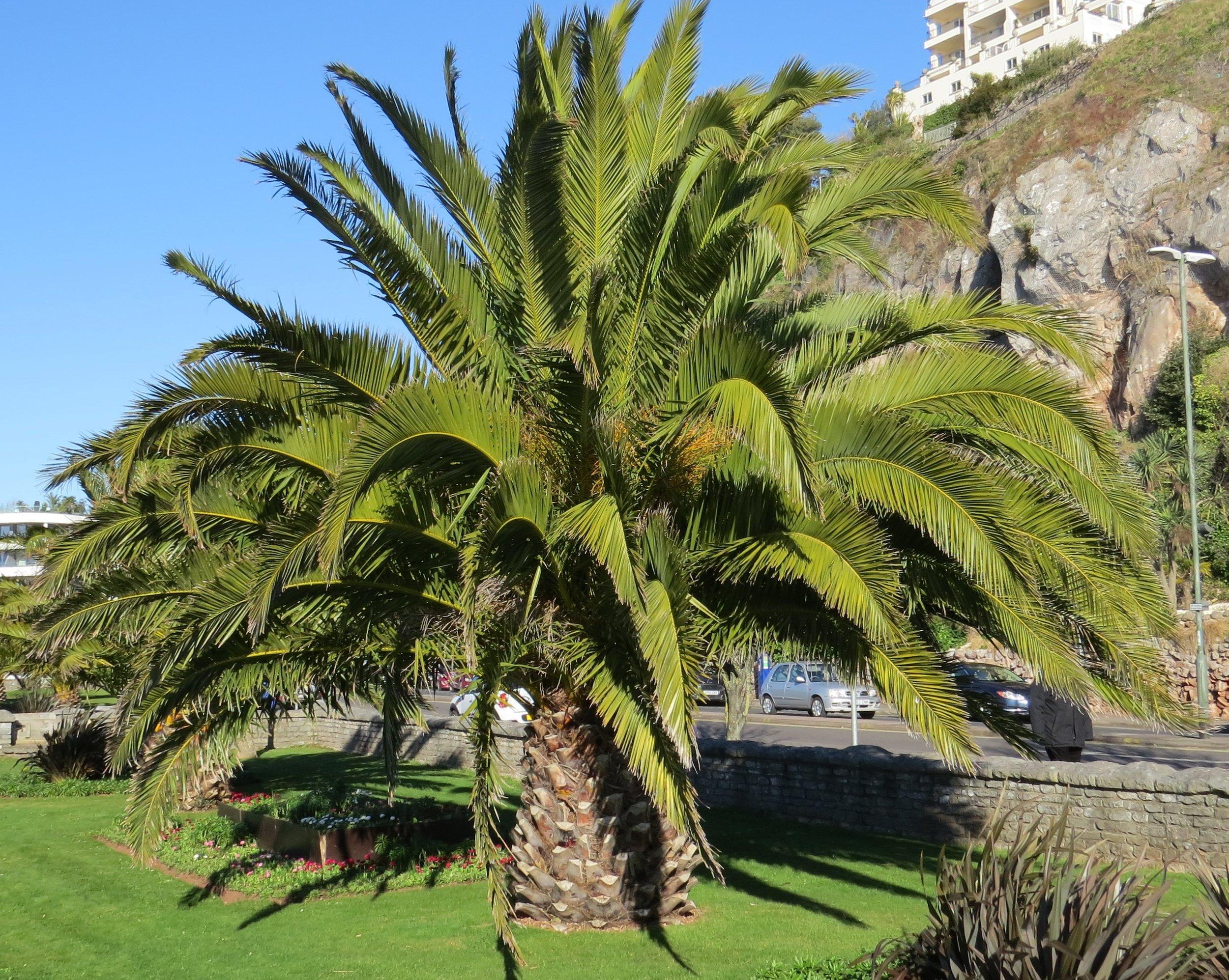 Palm Tree Torquay