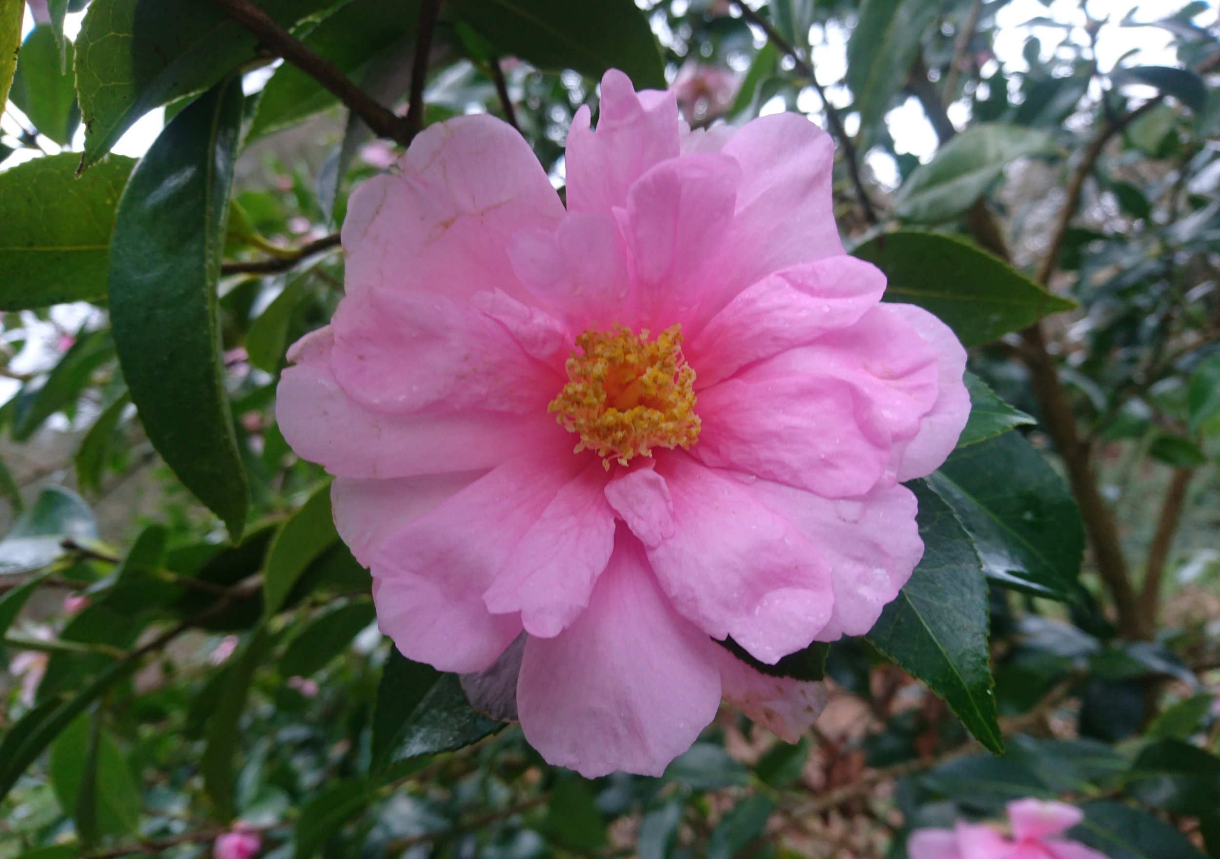 National Camellia Collection