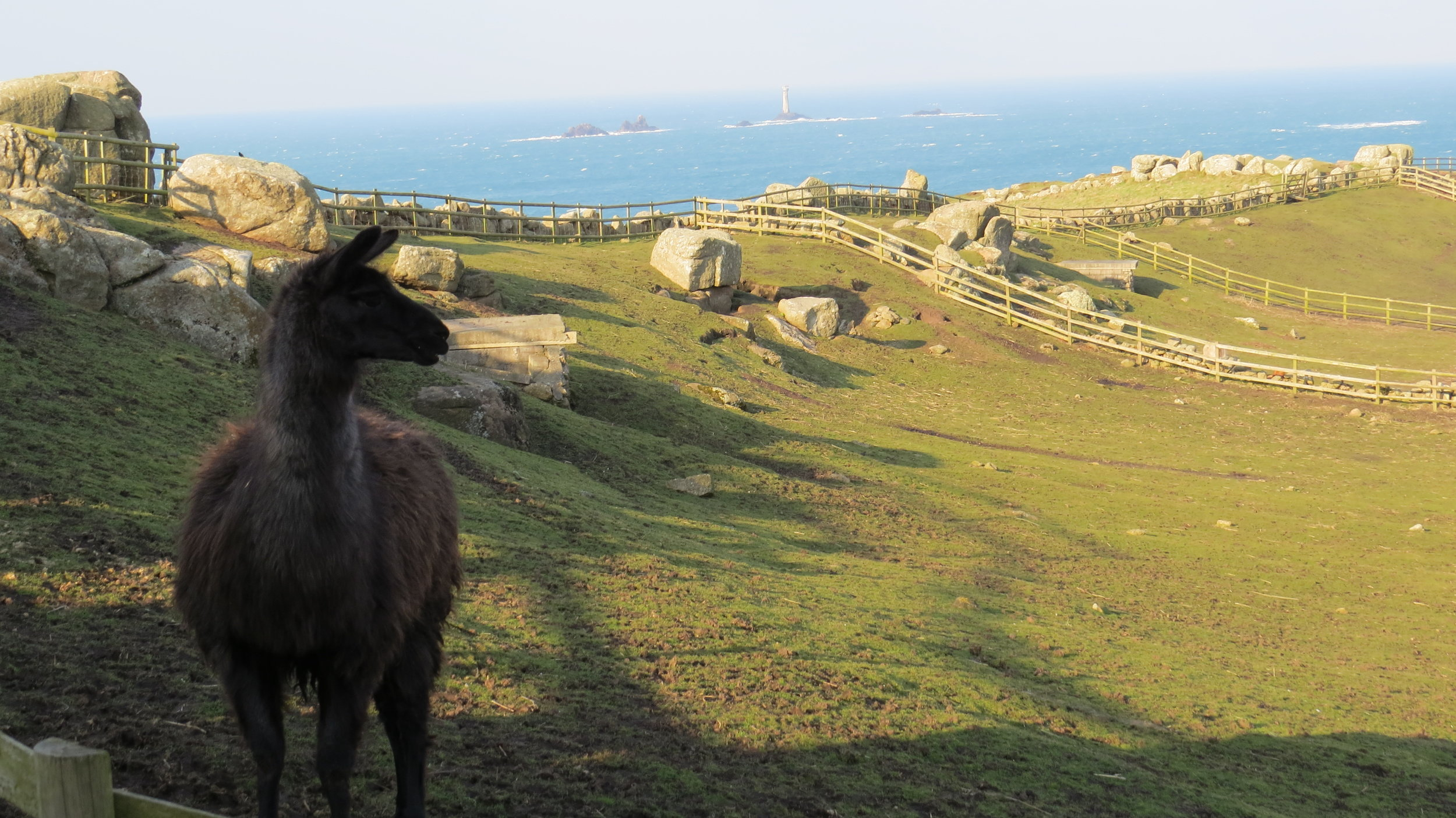 Alpaca at Lands End