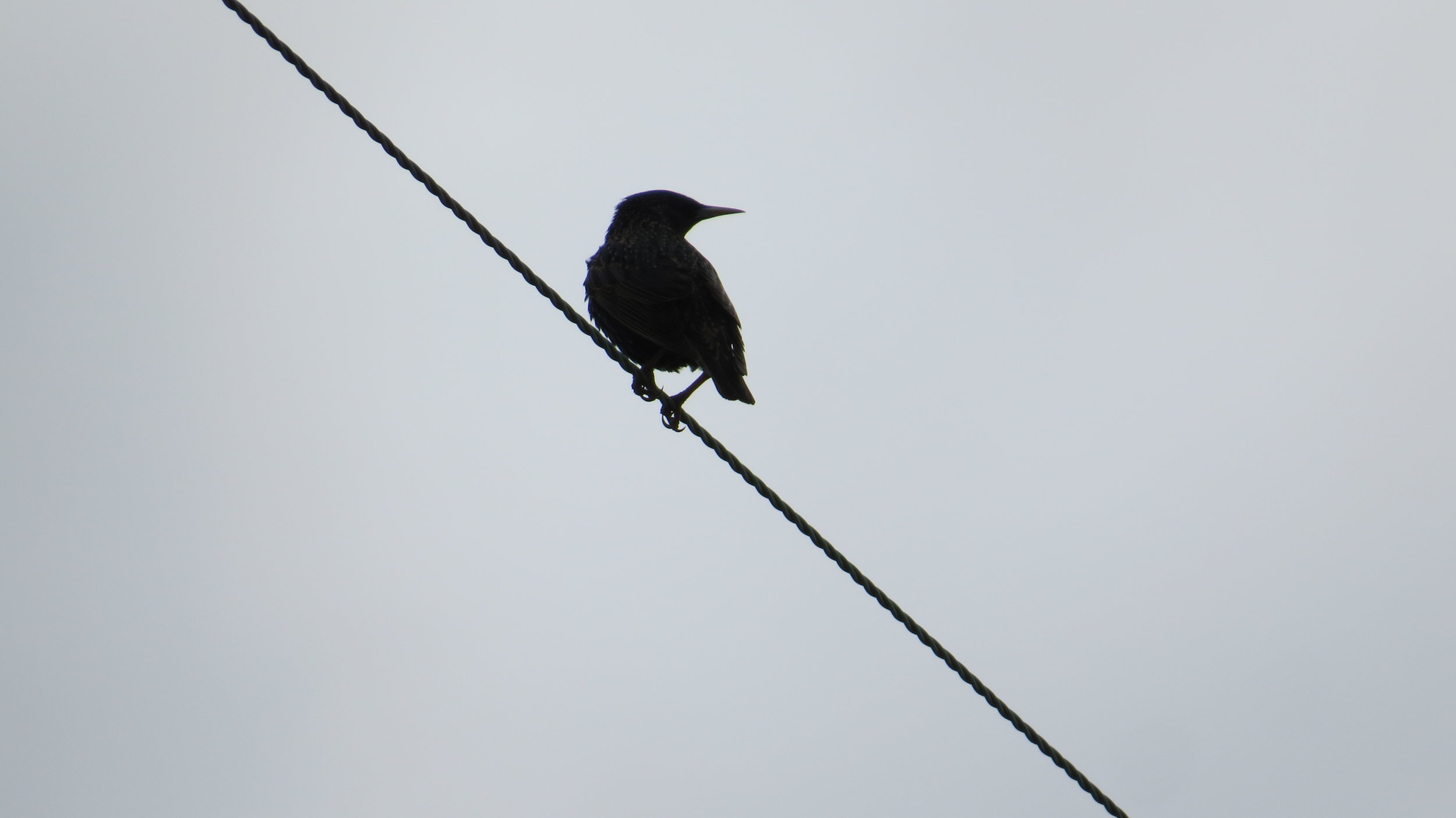 Starling Silhouette