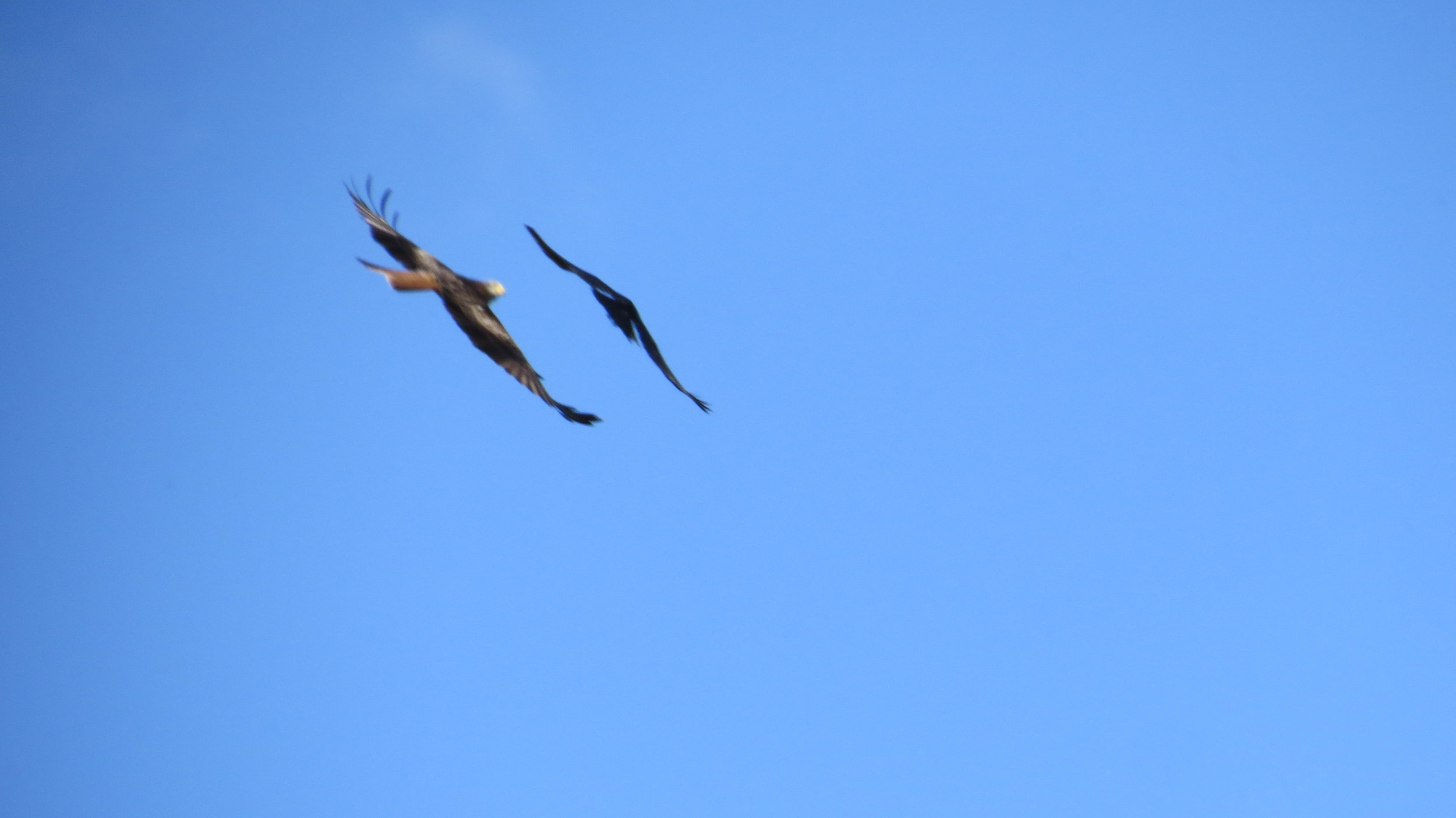 Kite Chased of by Rook