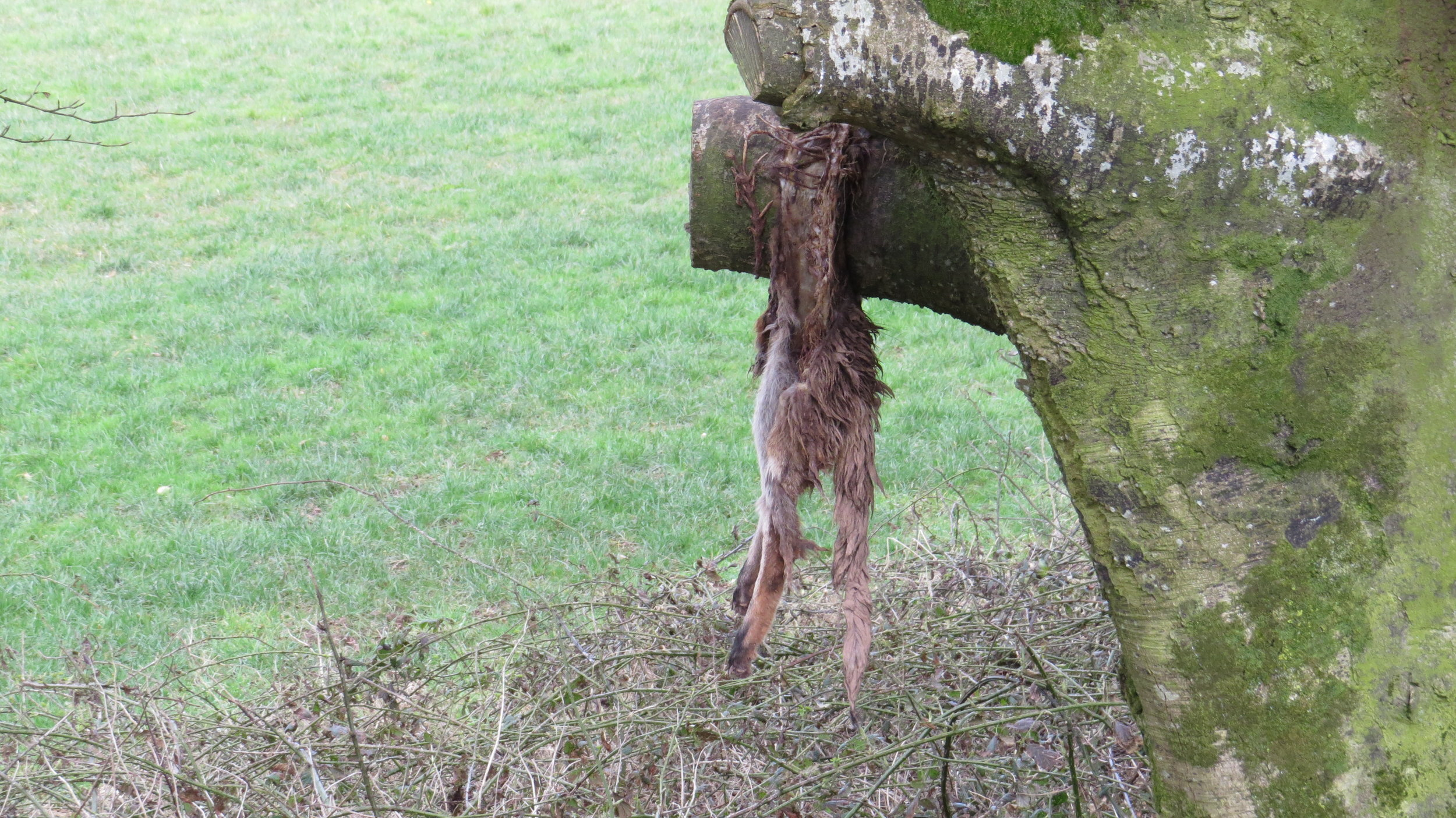 Fox Hung Up