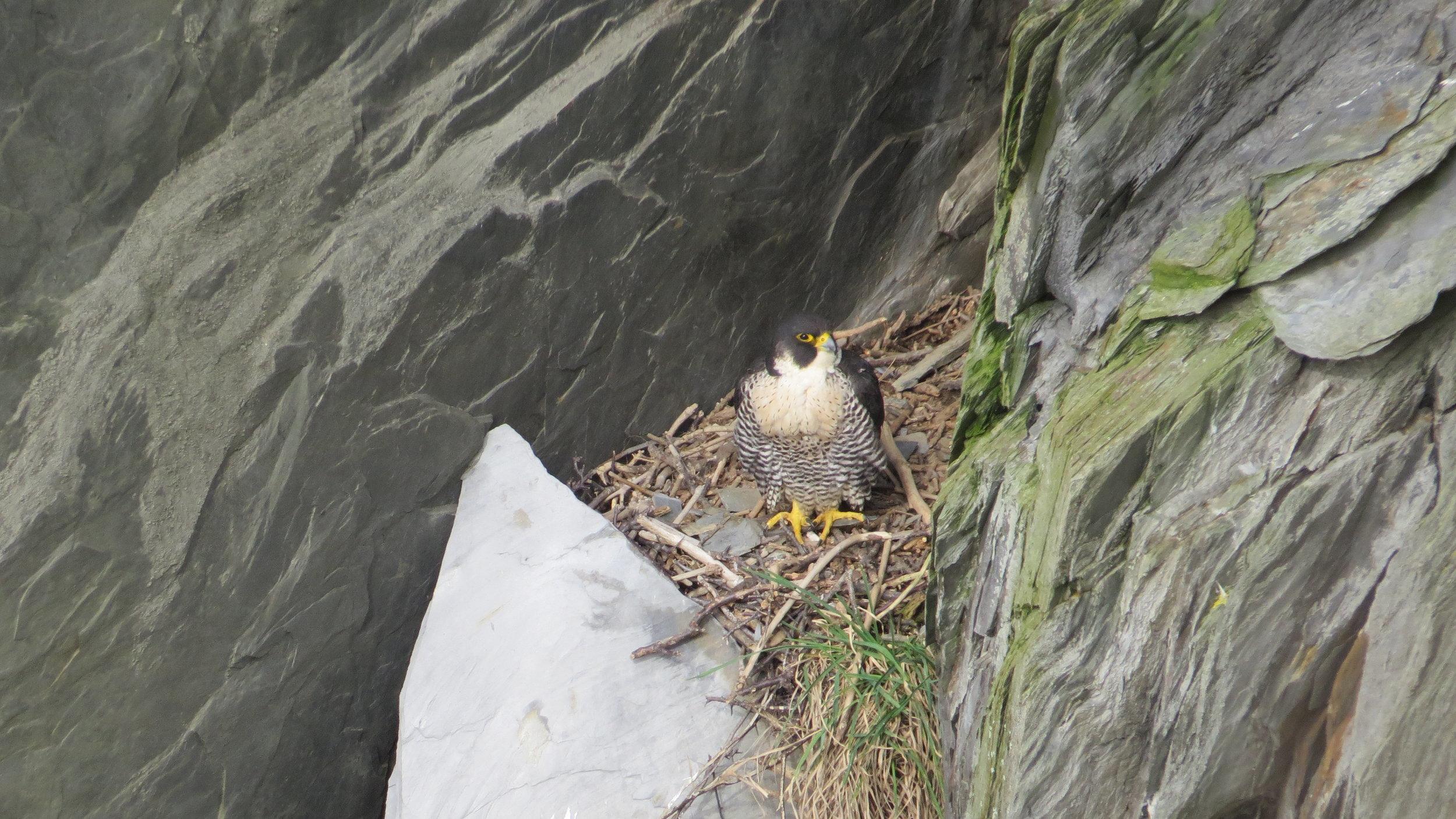 Peregrine Nest
