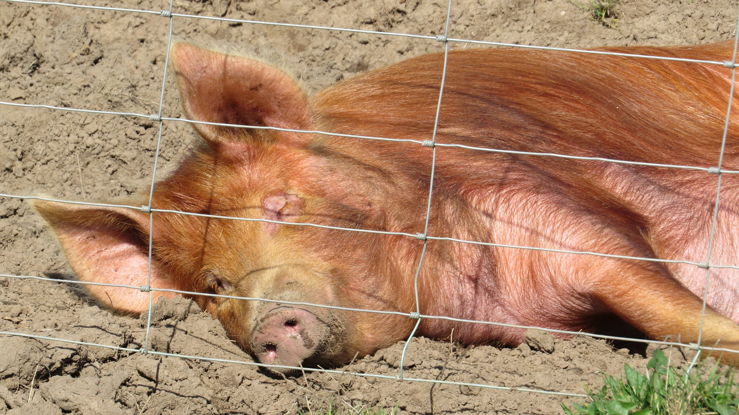 Very Chilled Pig