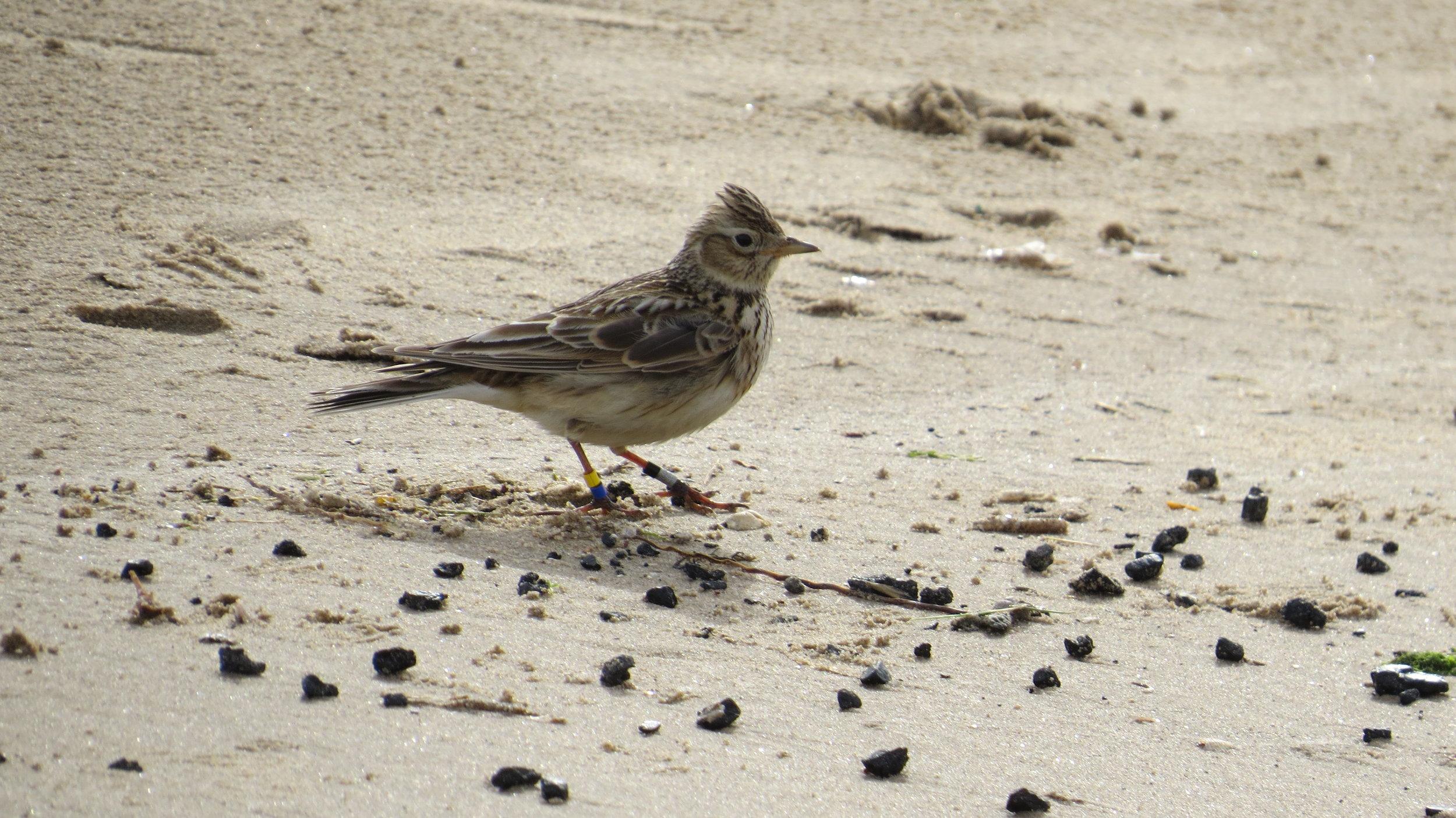 Ringed Skylark on Beach