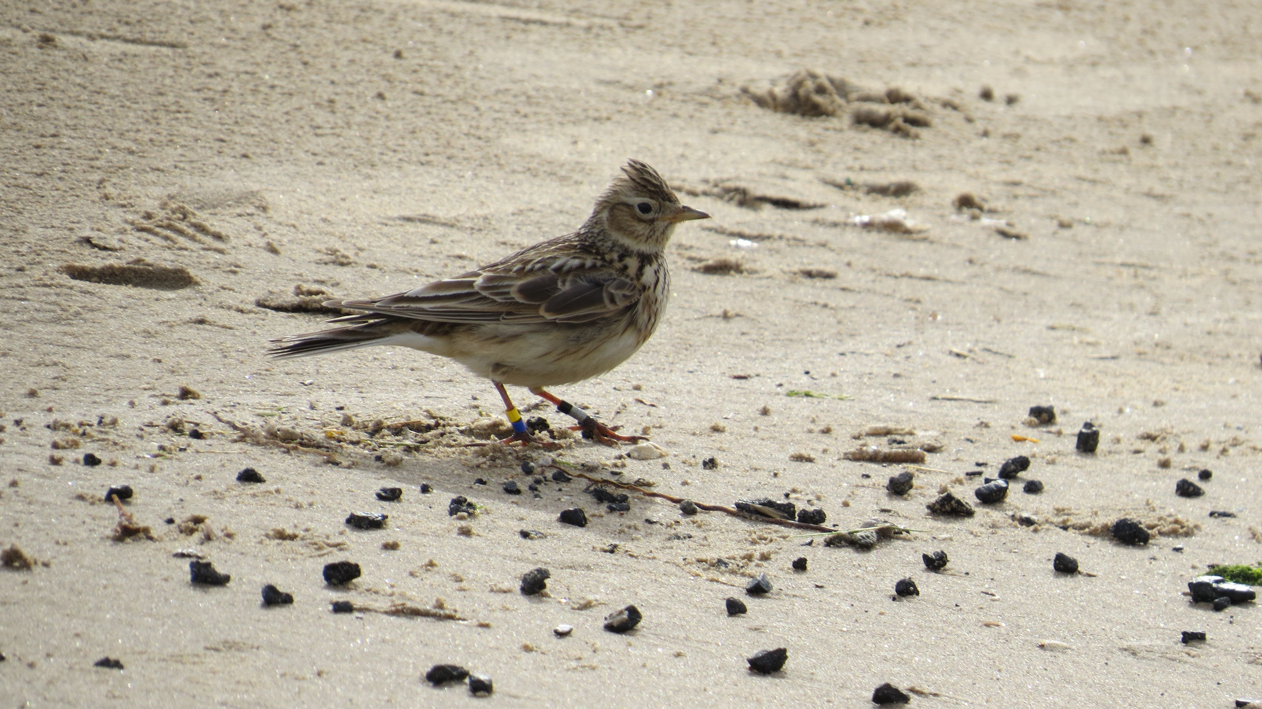 Skylark on Beach
