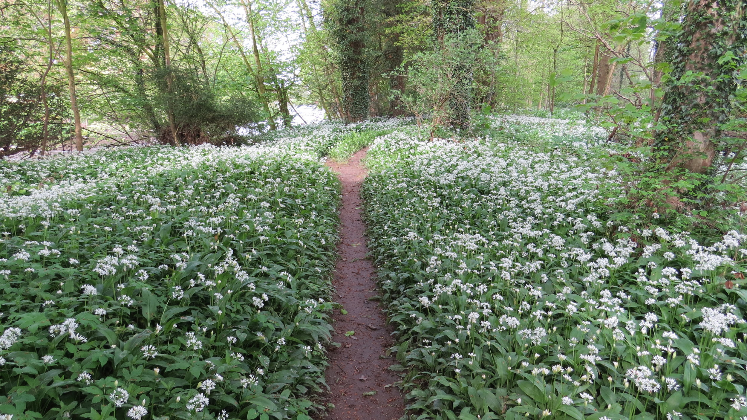 Wild Garlic Everywhere