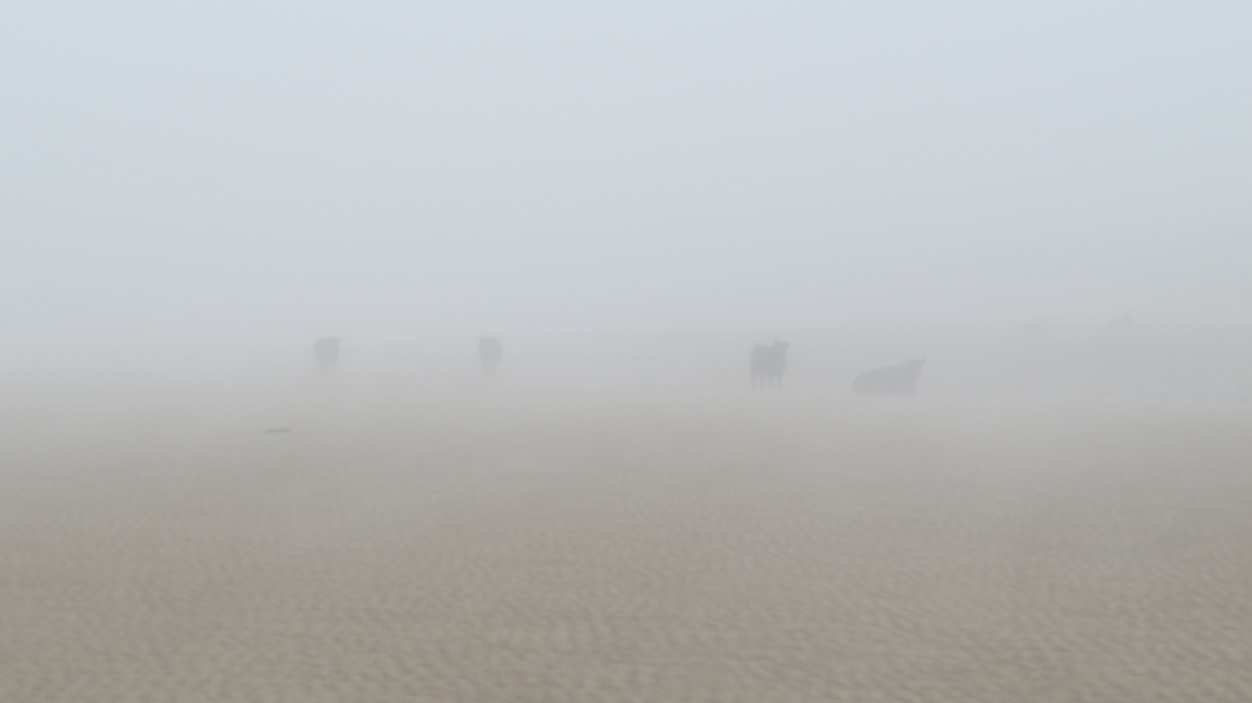 Cows on Beach through Haze