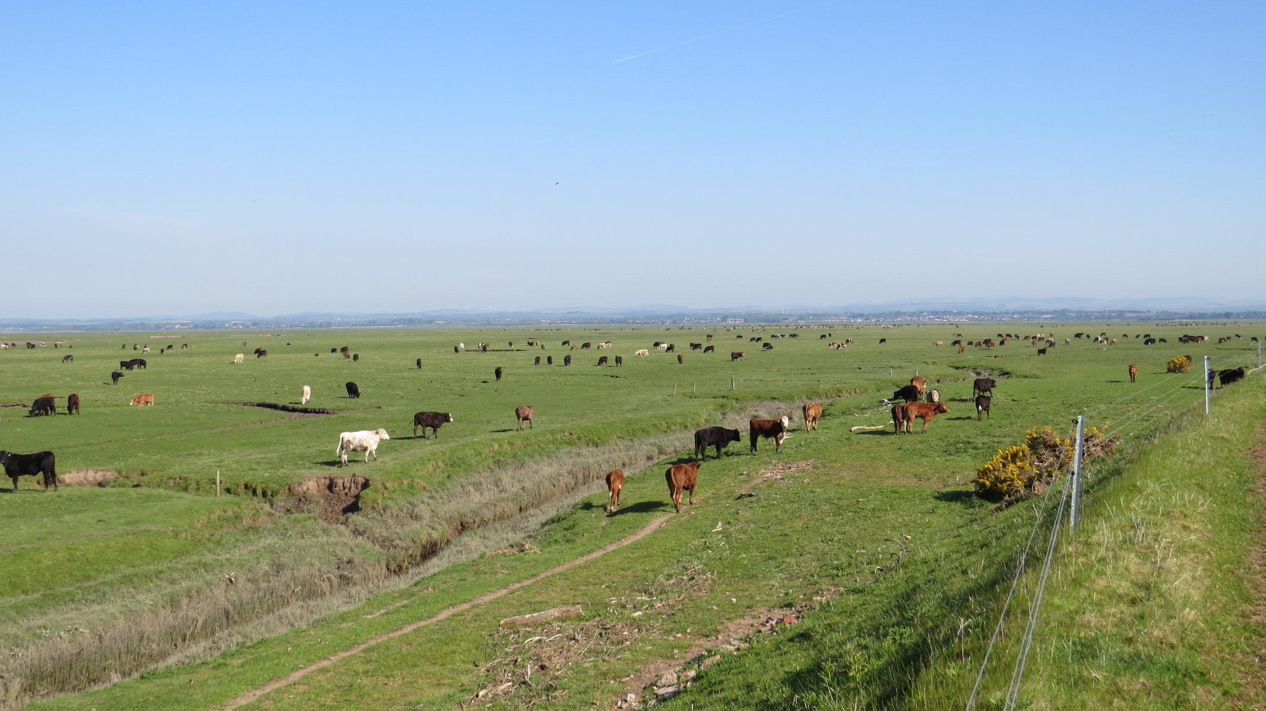 Cattle Everywhere
