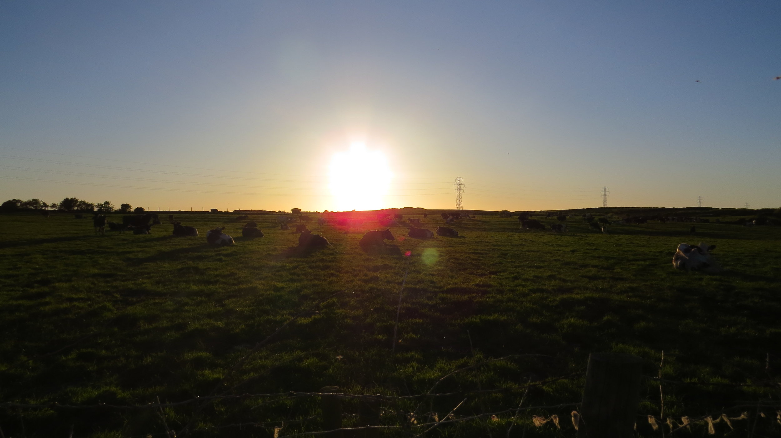 Cows and Sunset