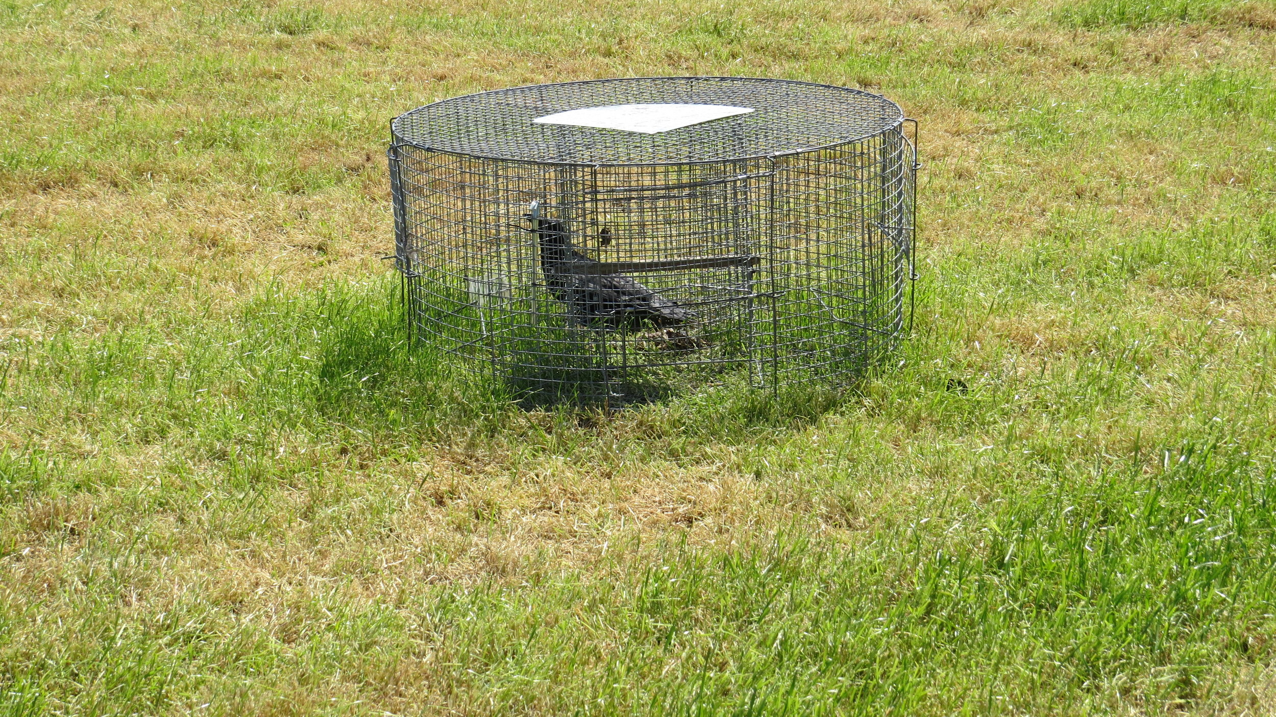 Cruel Corvid Trap (using live bird which was overheating to attract others into trap)