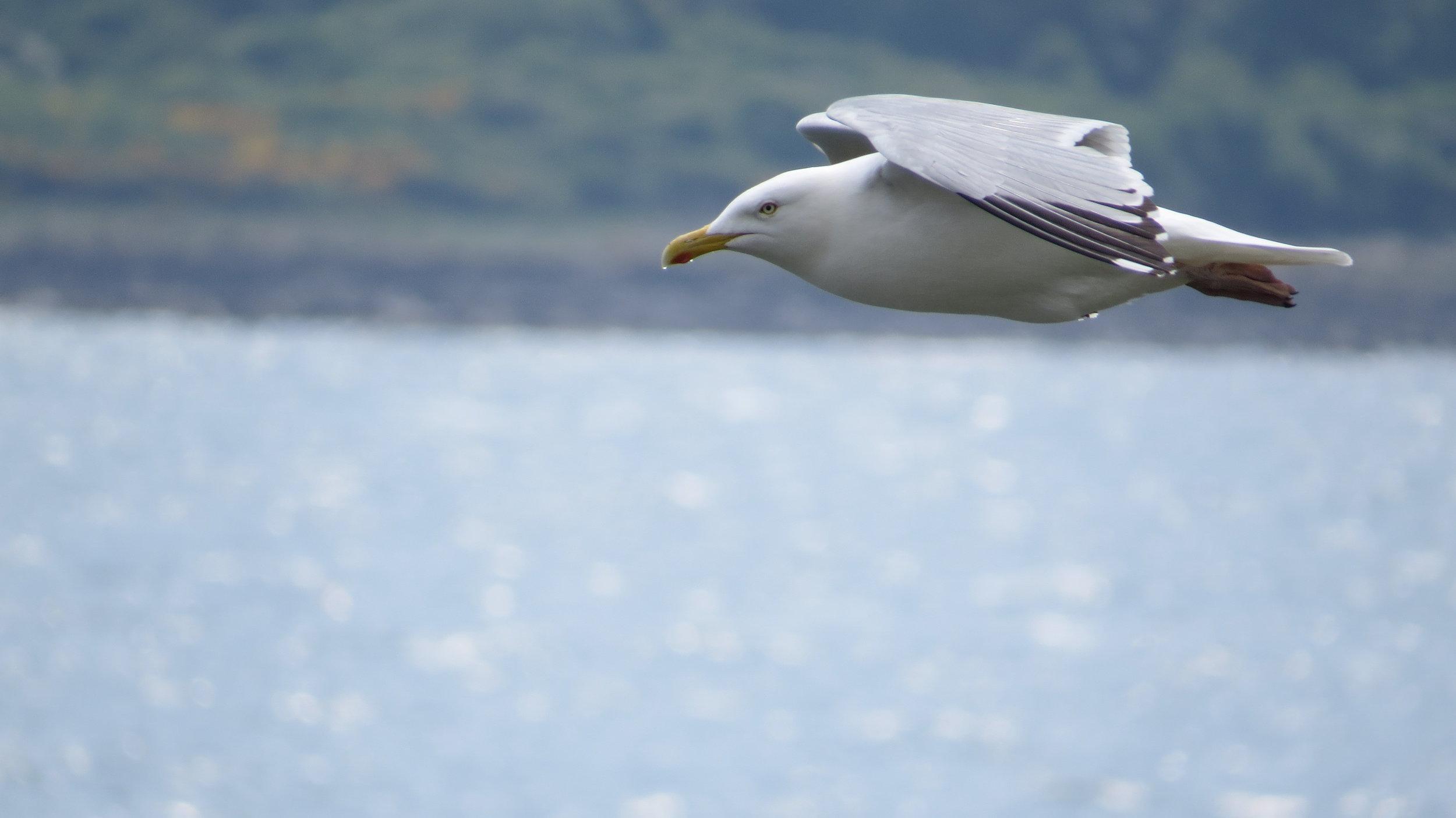 Gull (the original angry bird)