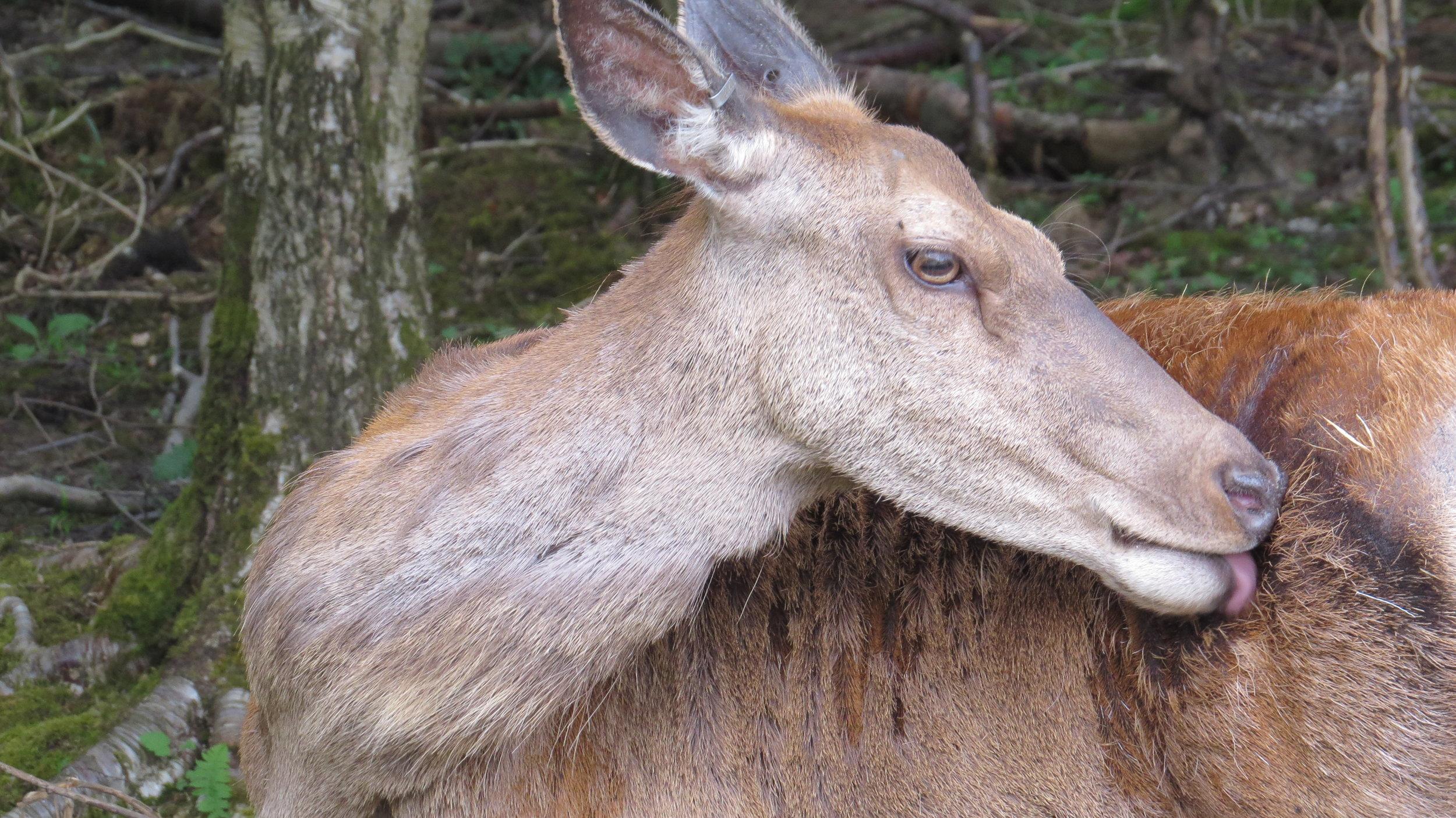 Female Red Deer