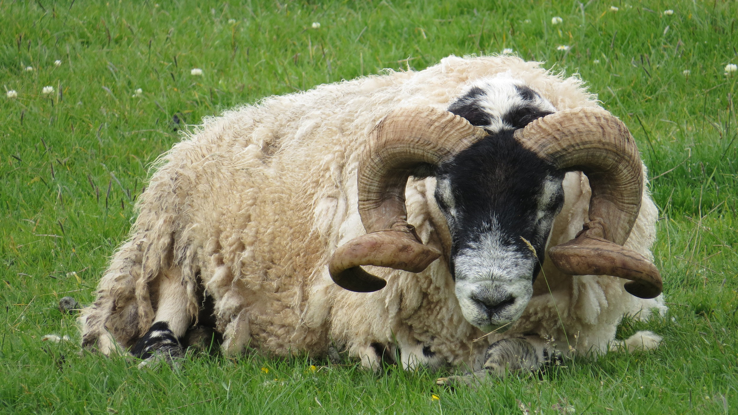 Horny Sheep