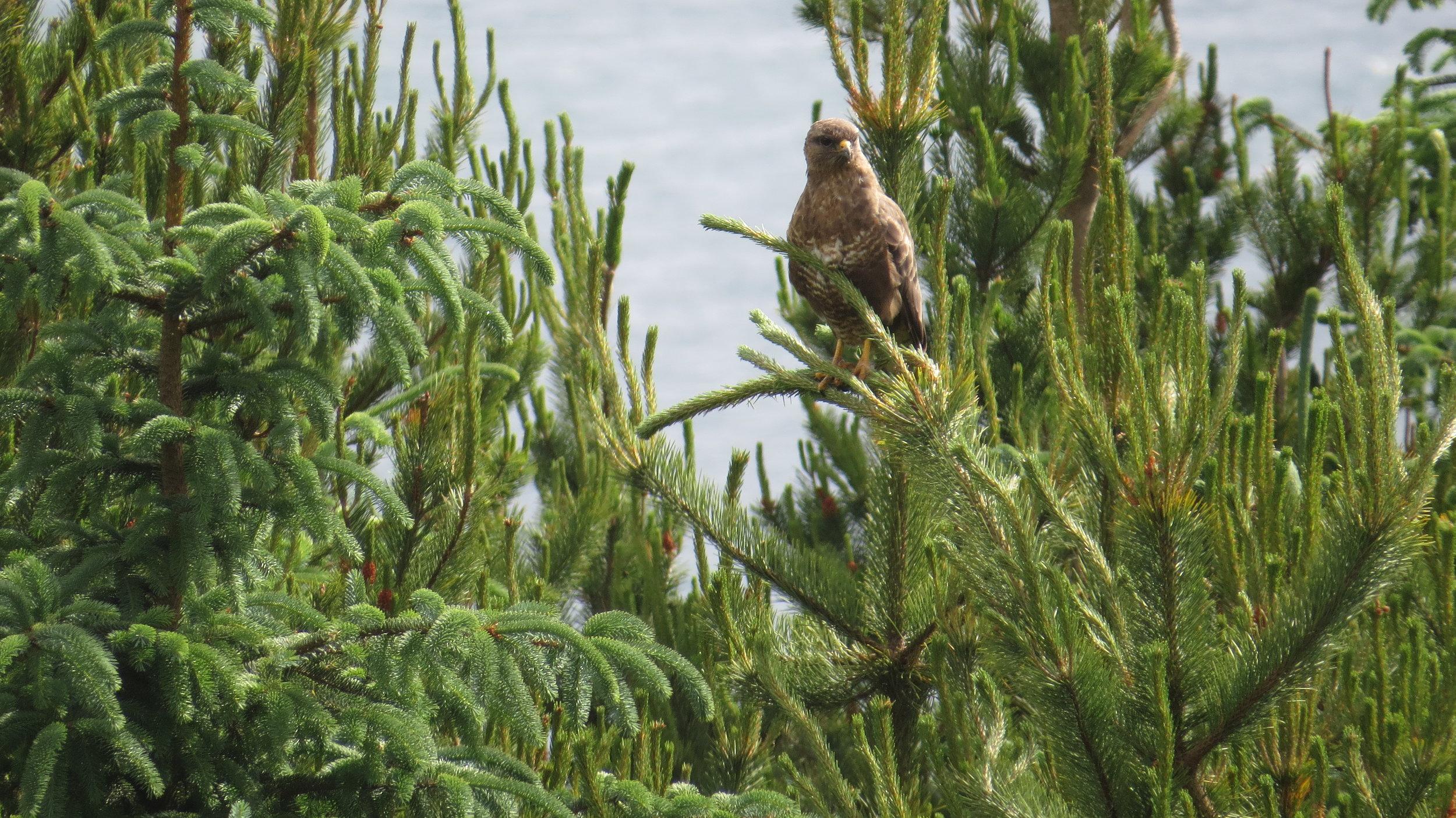 Buzzard, sadly not an Eagle