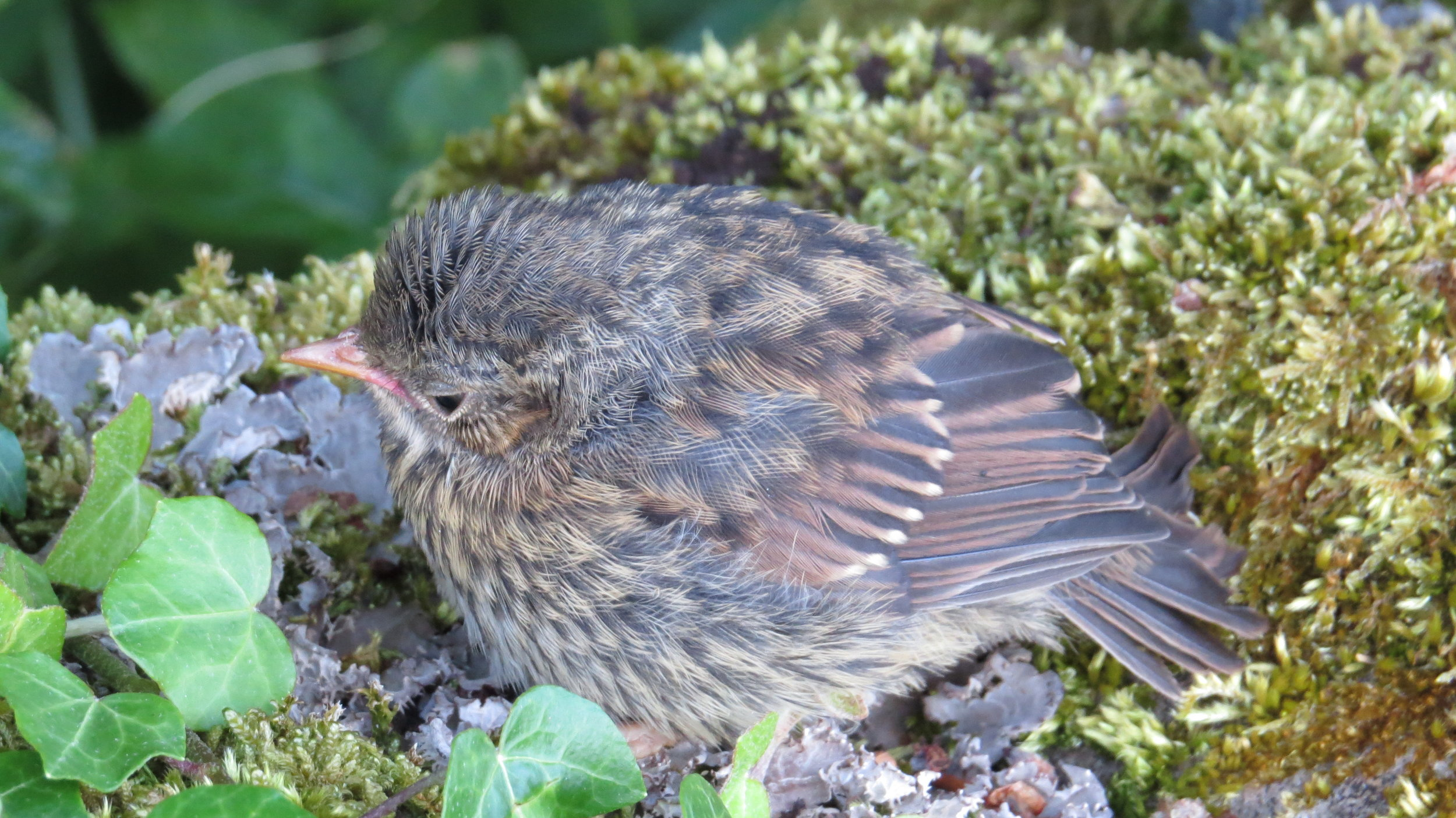 Saved a Fledged Bird