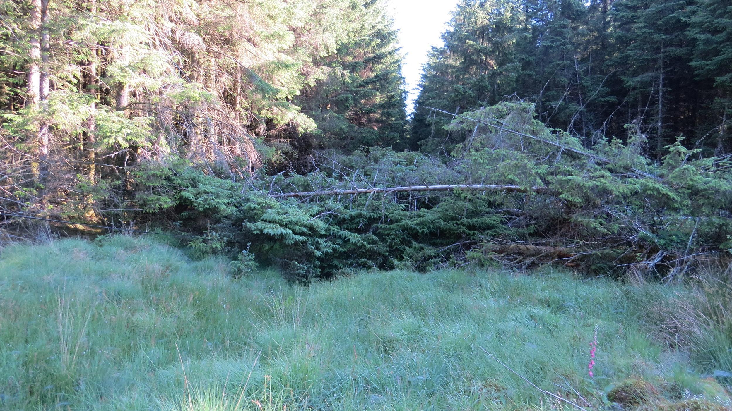 Fallen Pines Blocking Route