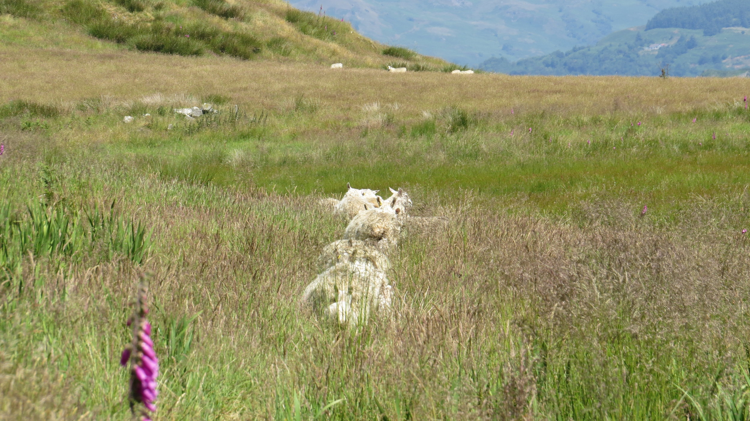 Sheep Forging me a Trail