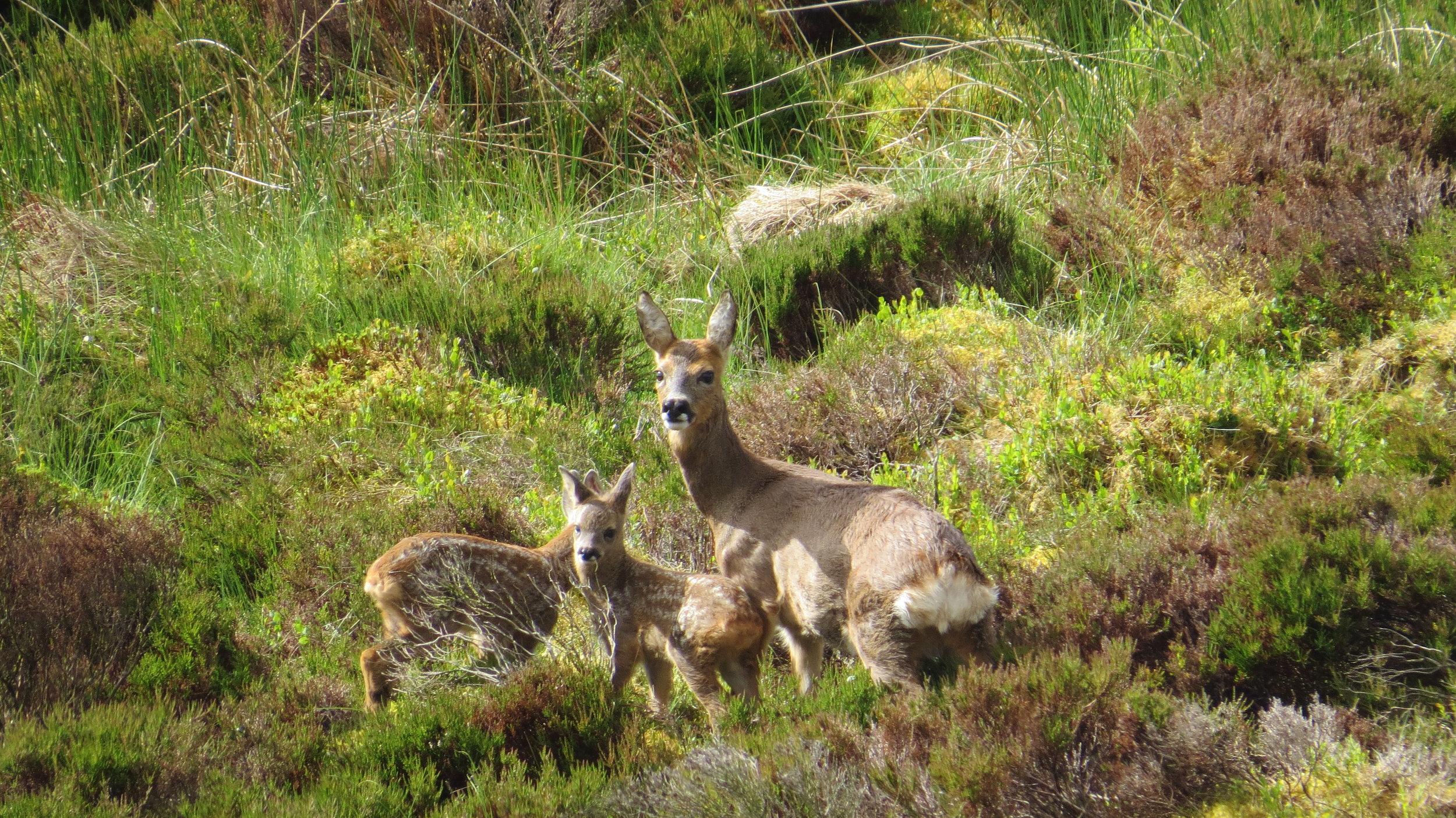 Deer & Fawns