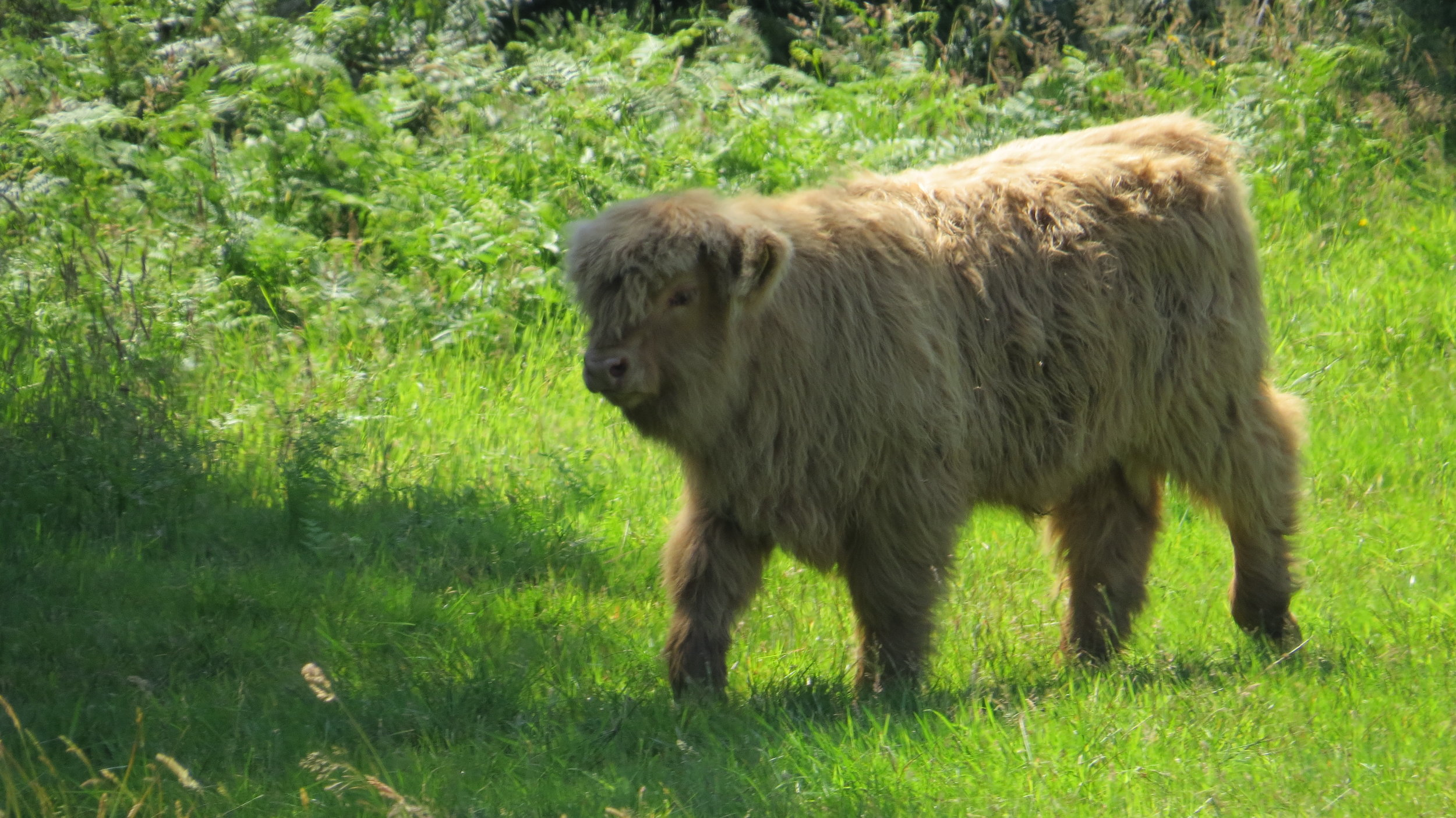 Fluffiest Cow Ever
