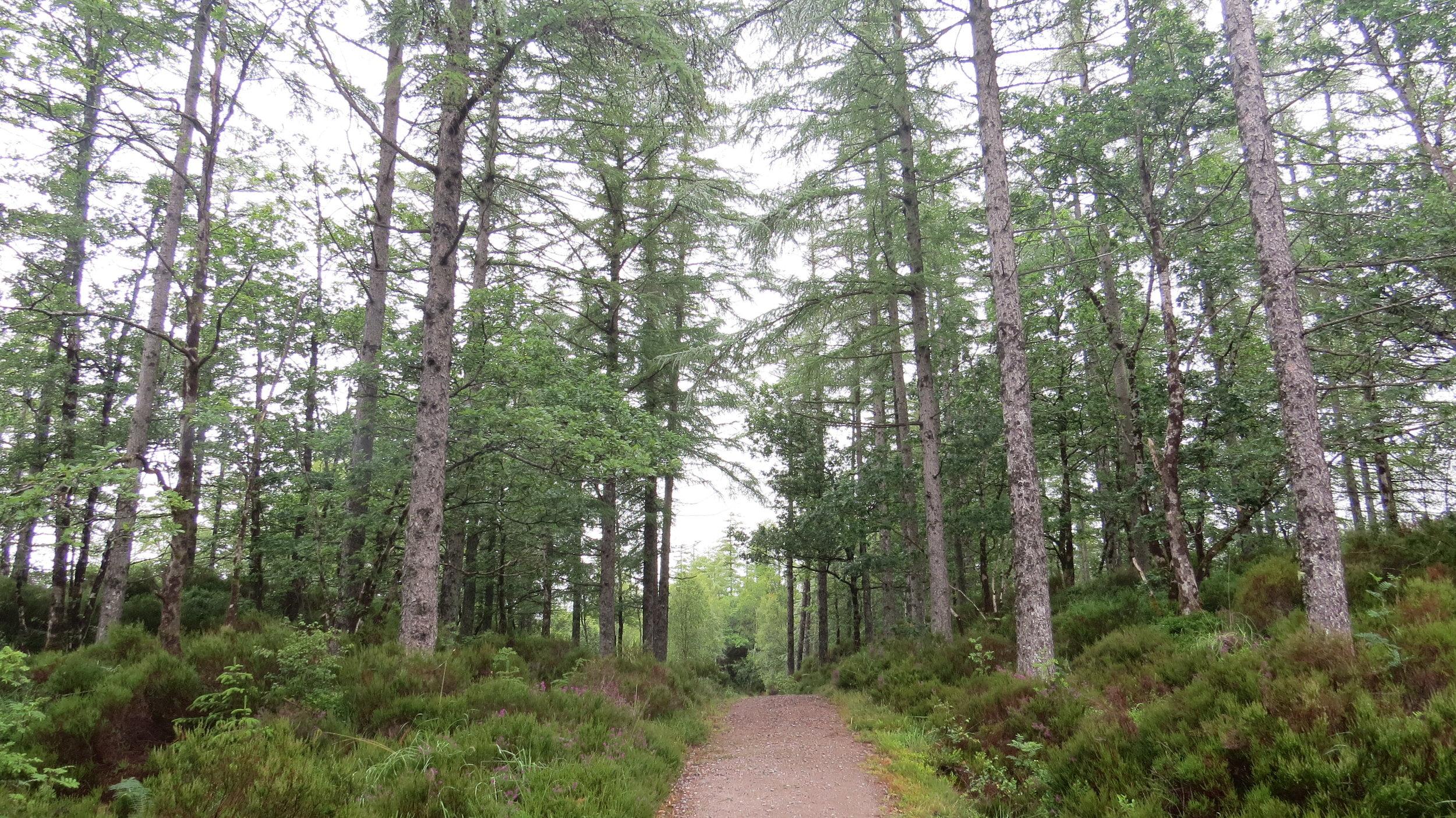 Pine Woodland Walking