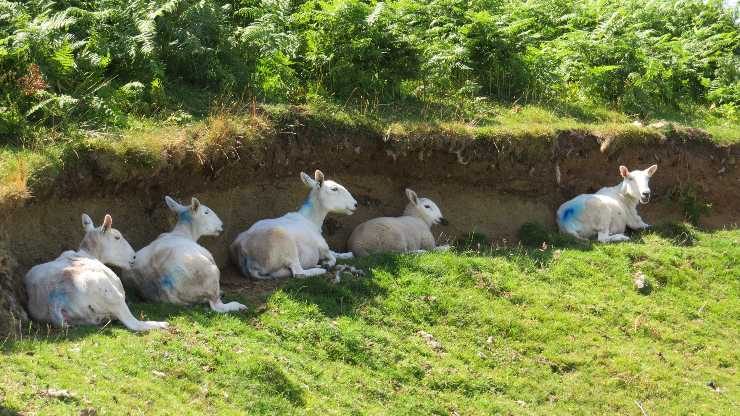 Sheep Cooling Off