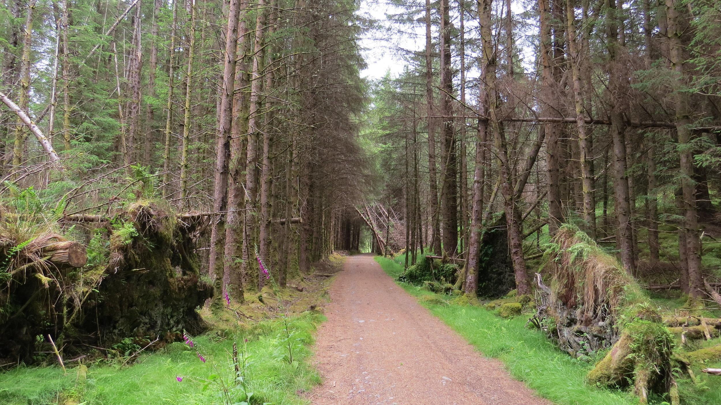 Fir Tree Walking