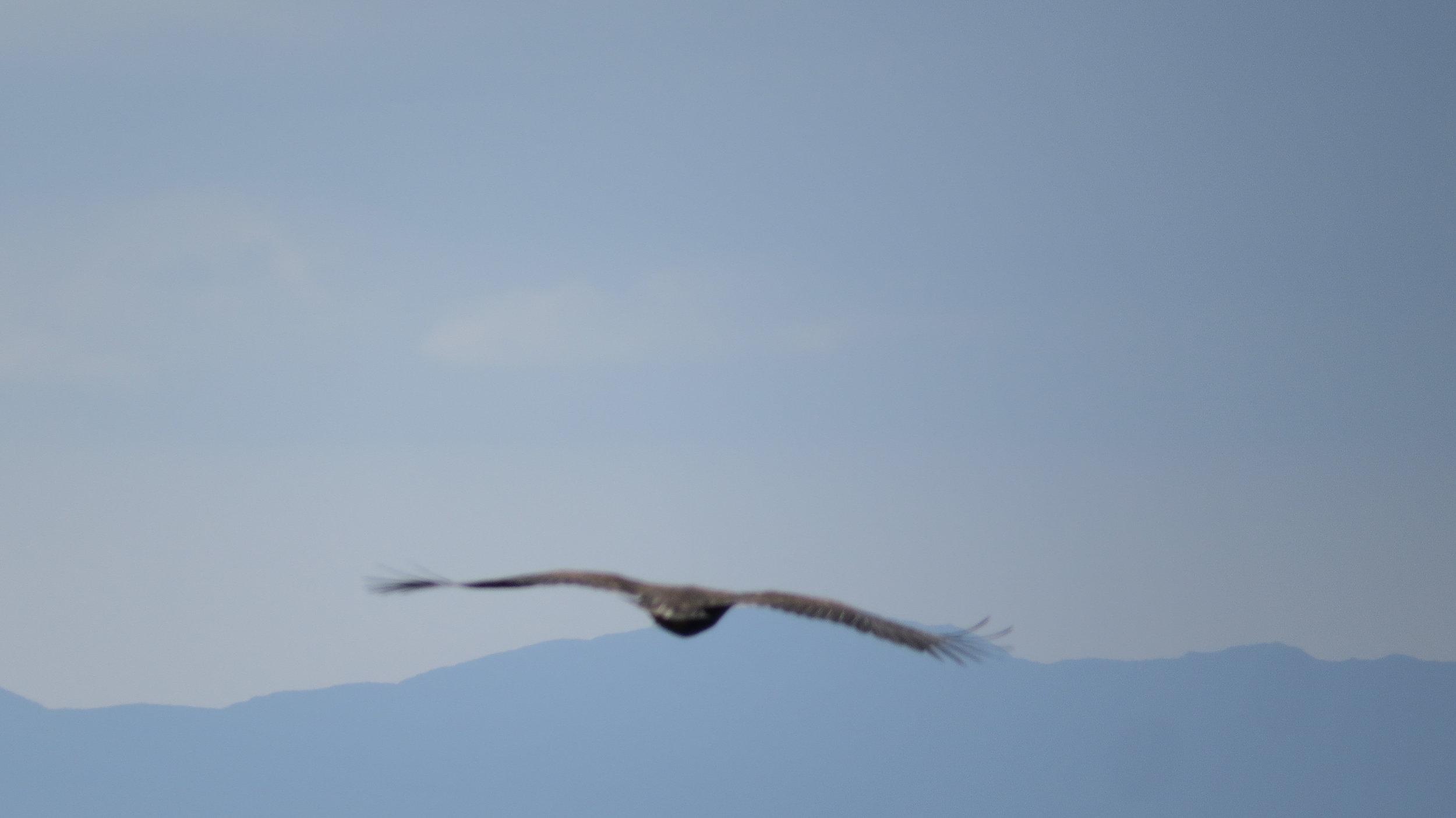 White Tailed Eagle II
