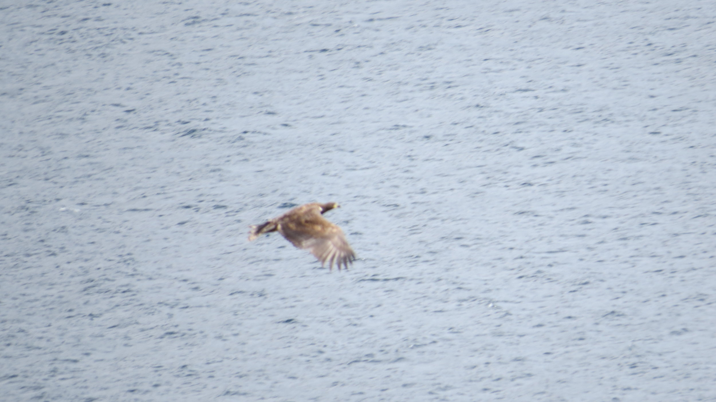 White Tailed Eagle I
