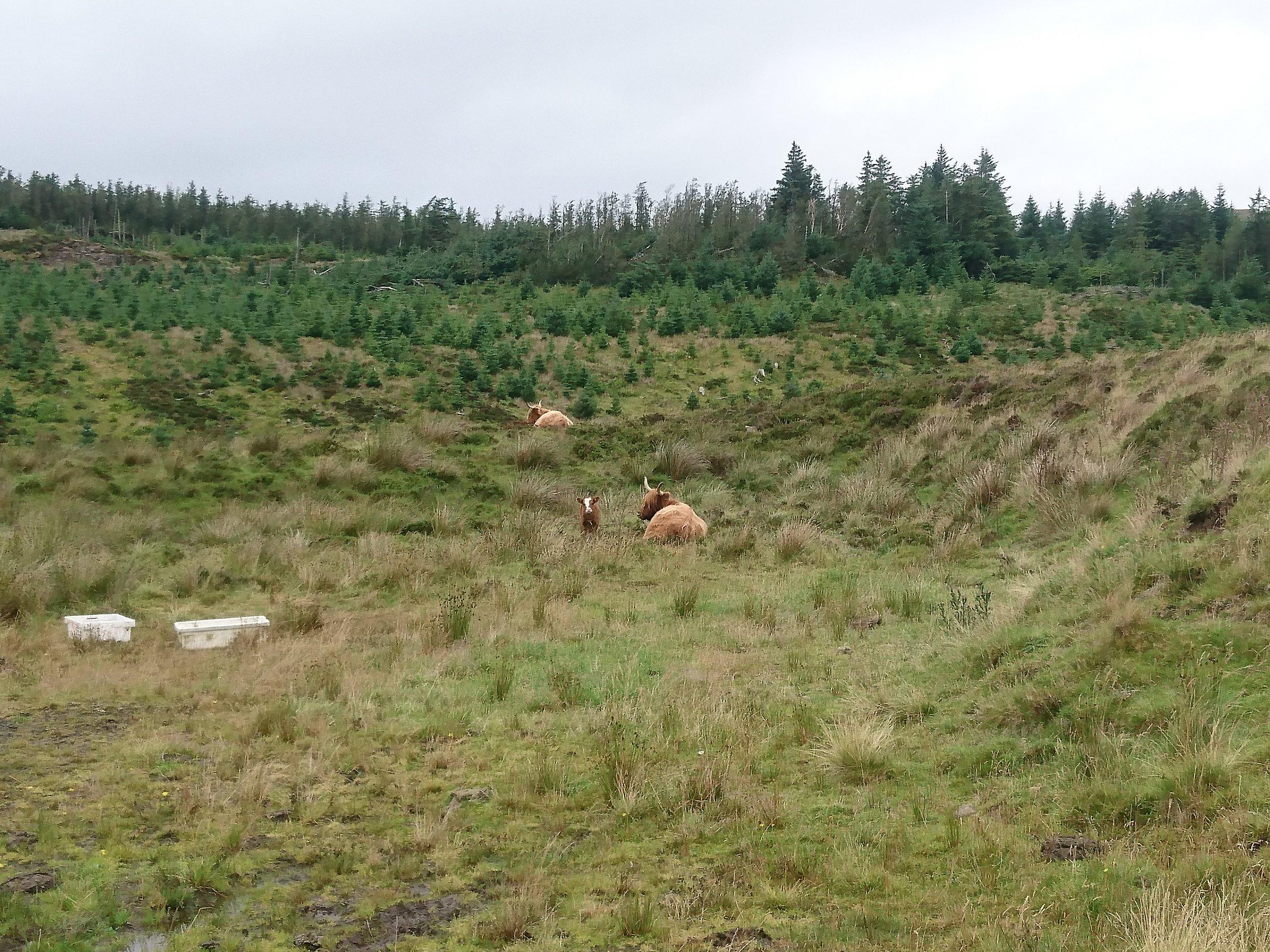 Tiny Highland Cow