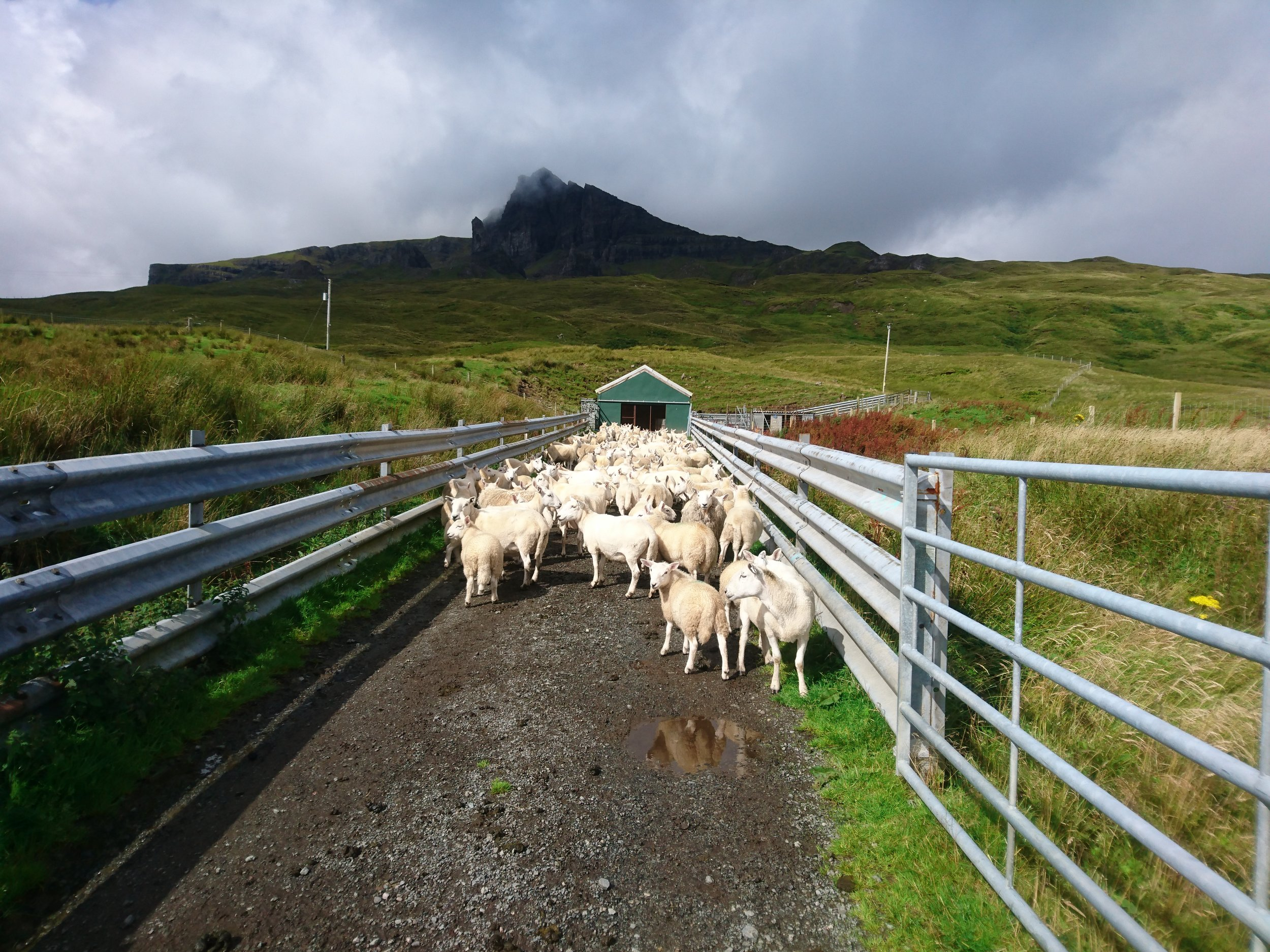 Sheep in front of Old Man of Storr