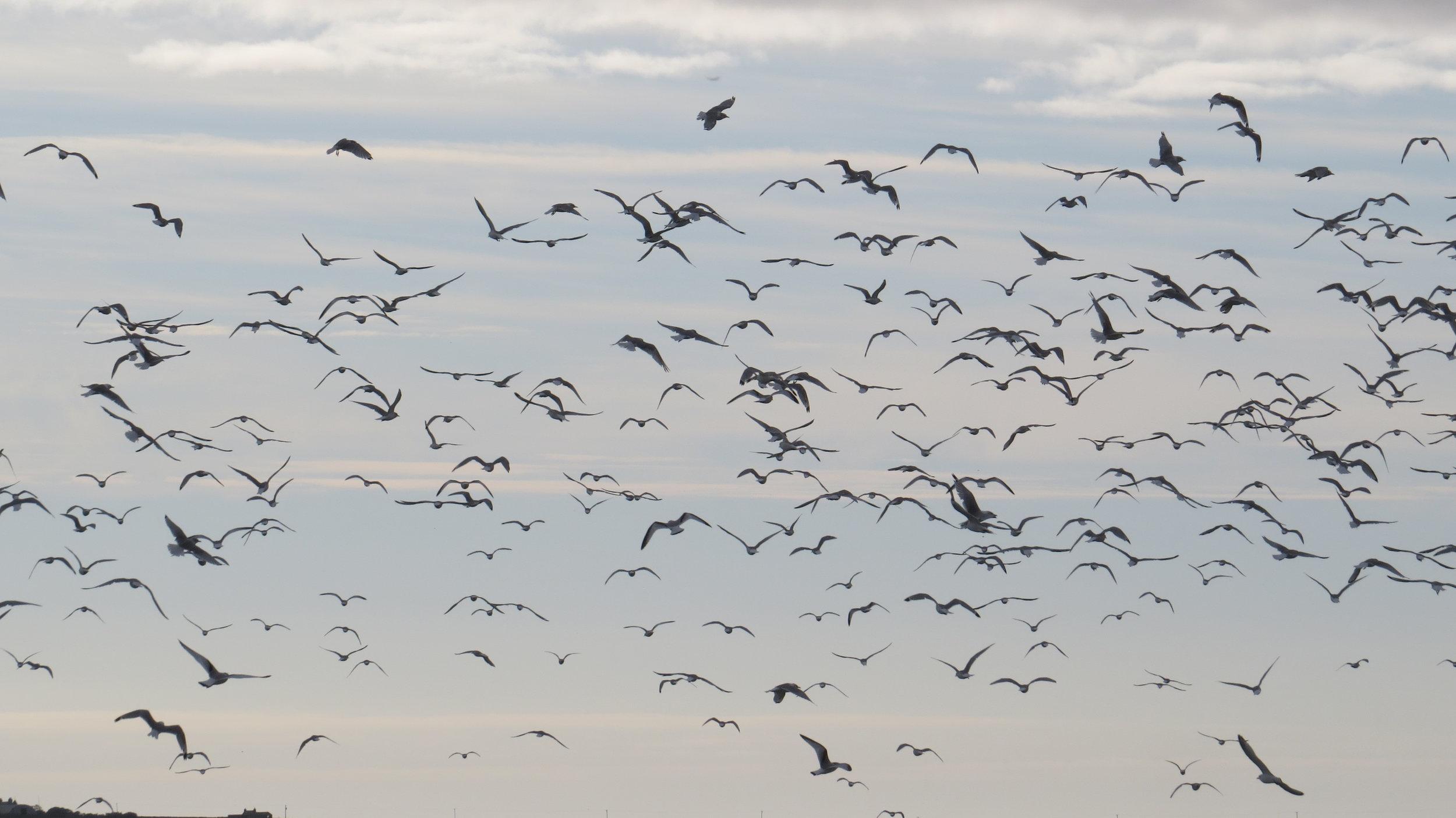 Gull's Everywhere