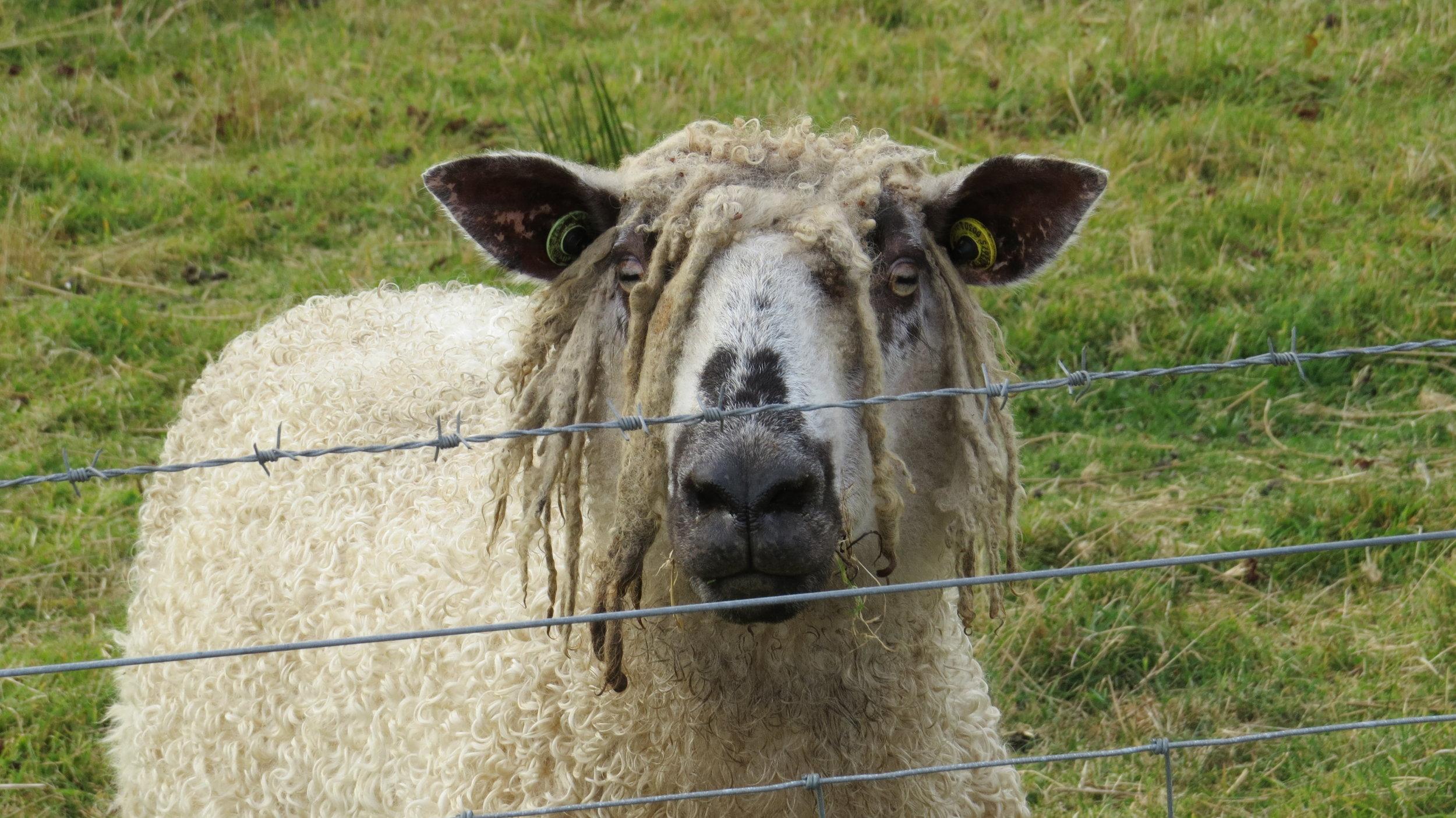 Dreadlocked Sheep