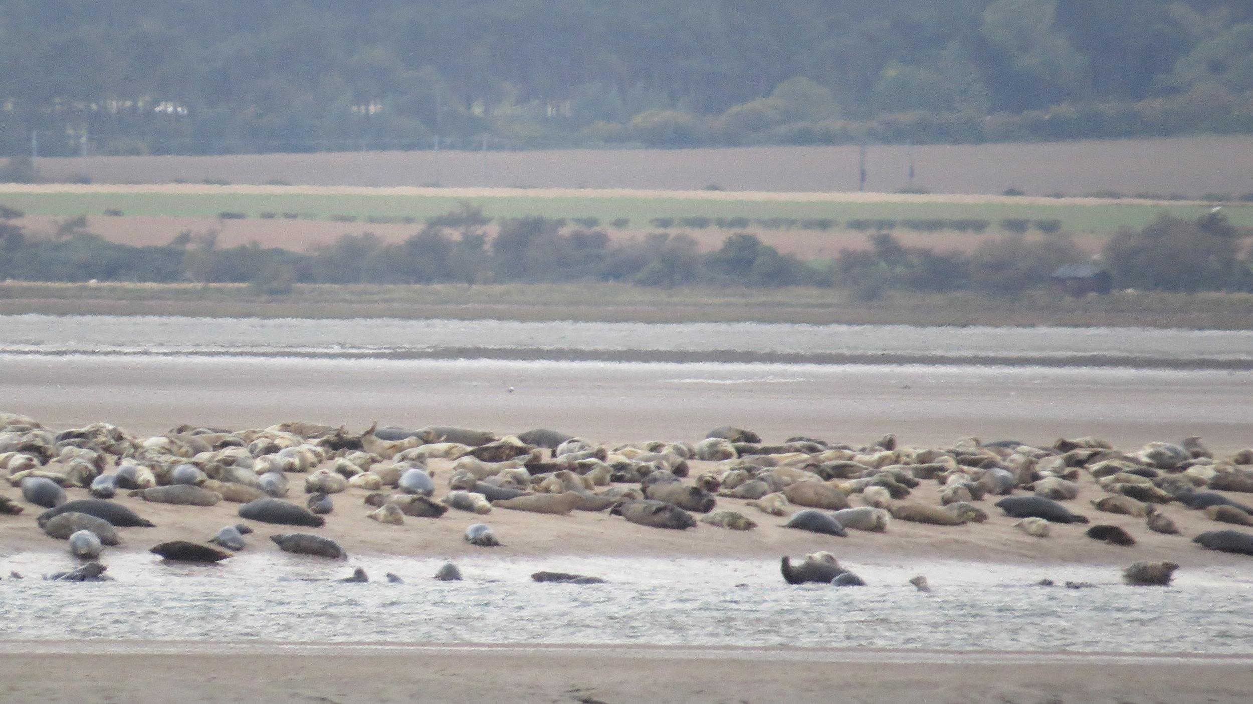 Seals off Holy Island