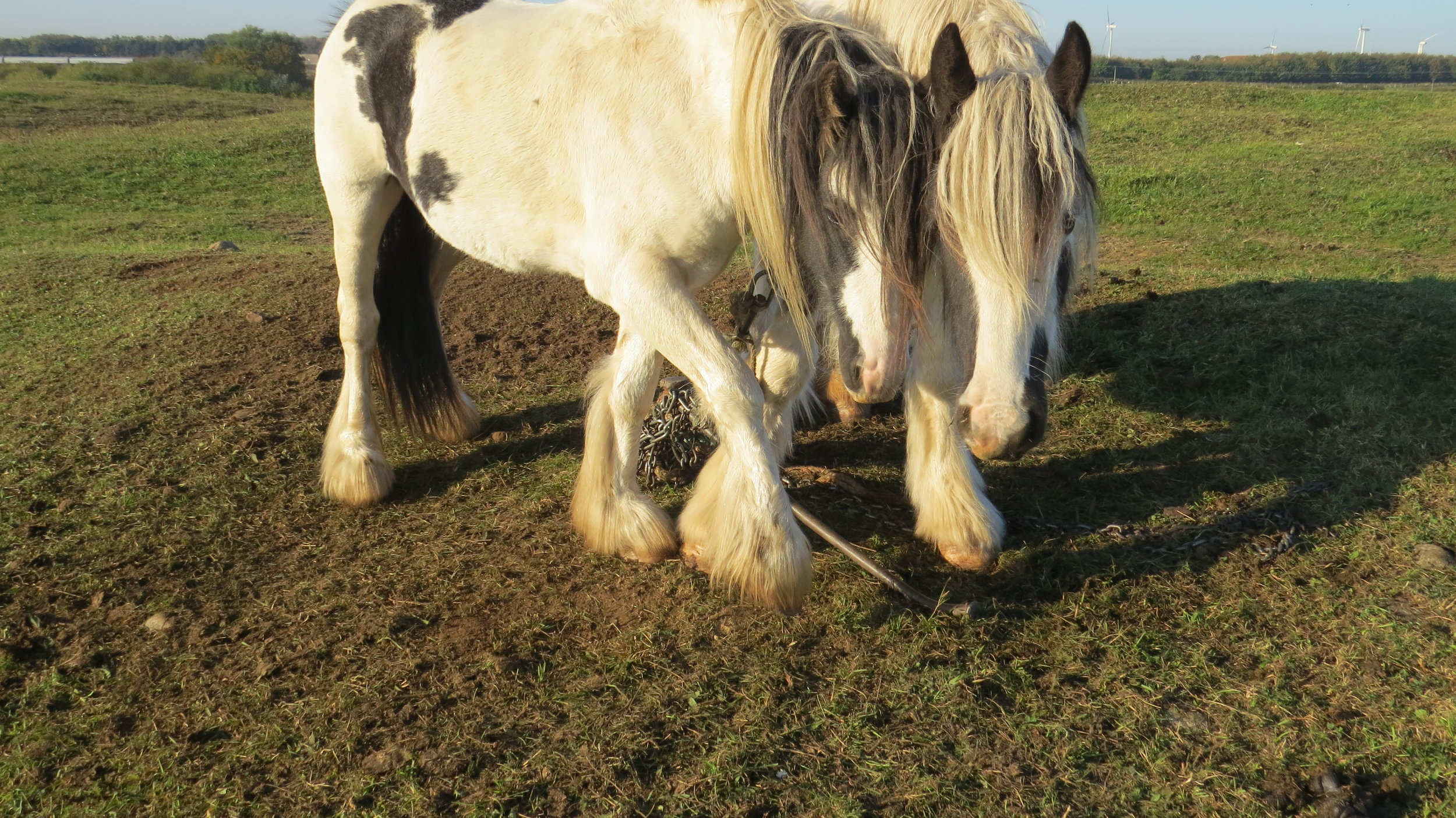 Chained Horses Tangled