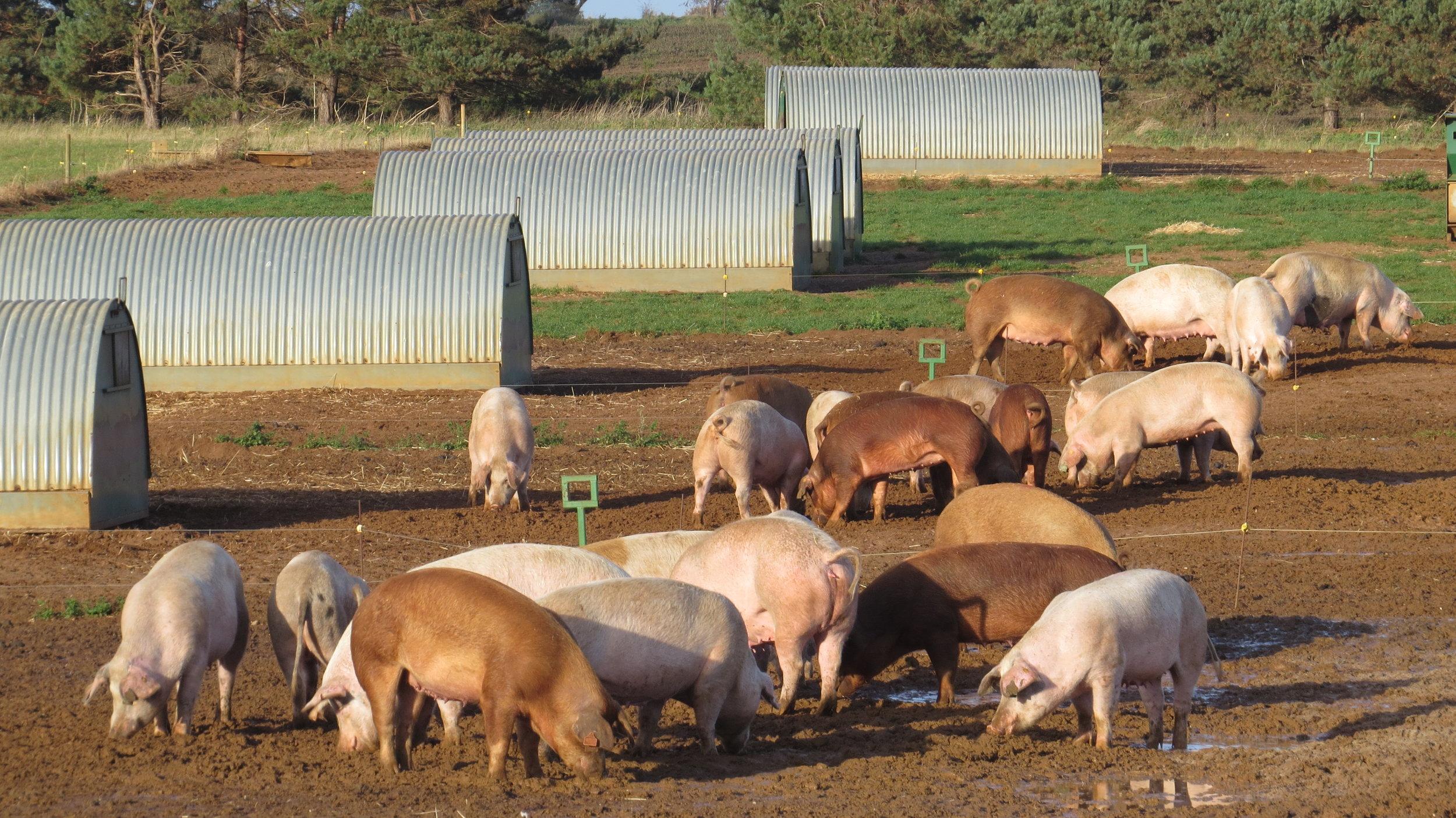 Suffolk Pigs
