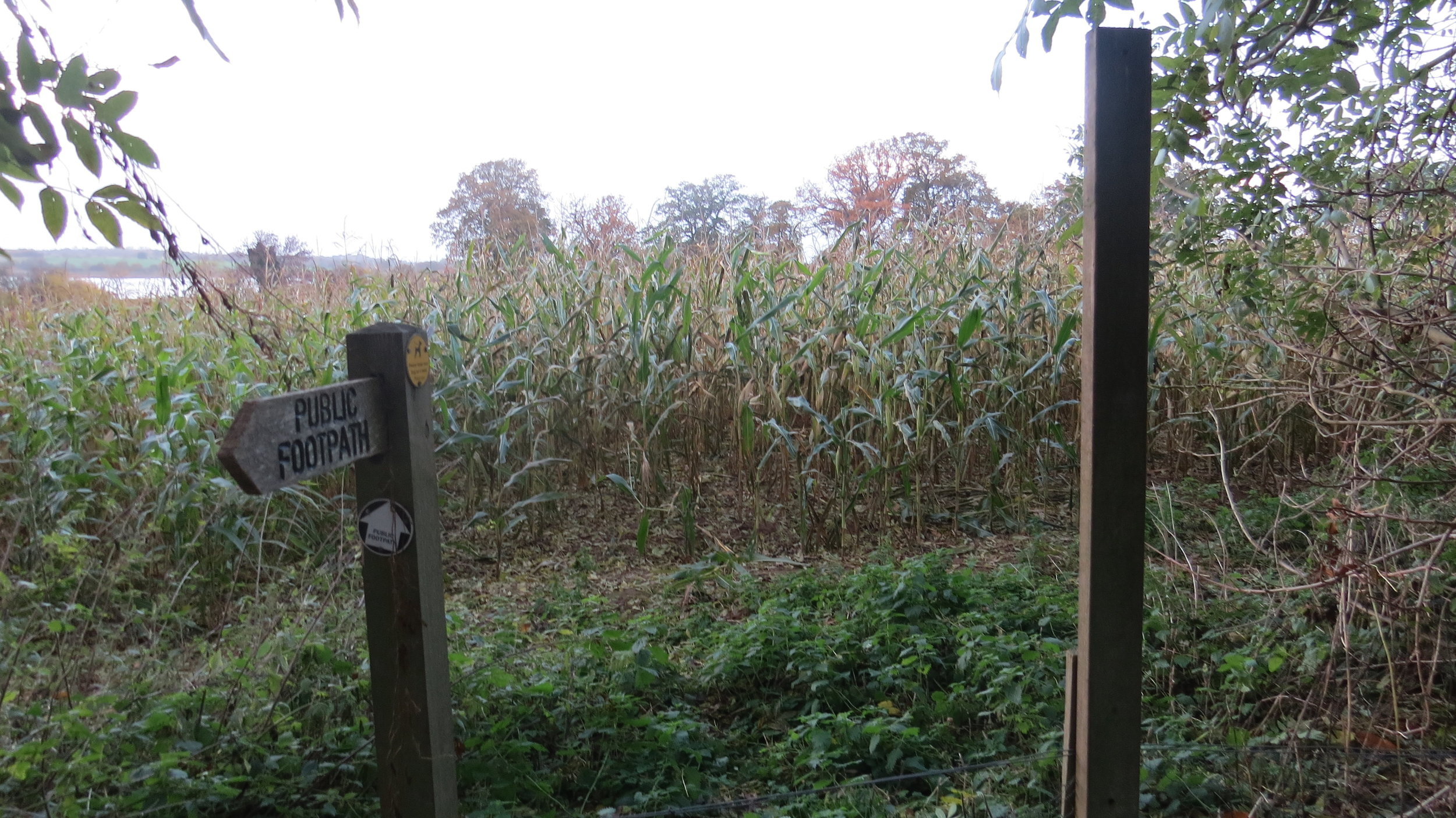 Directed Straight into Maize Crop!