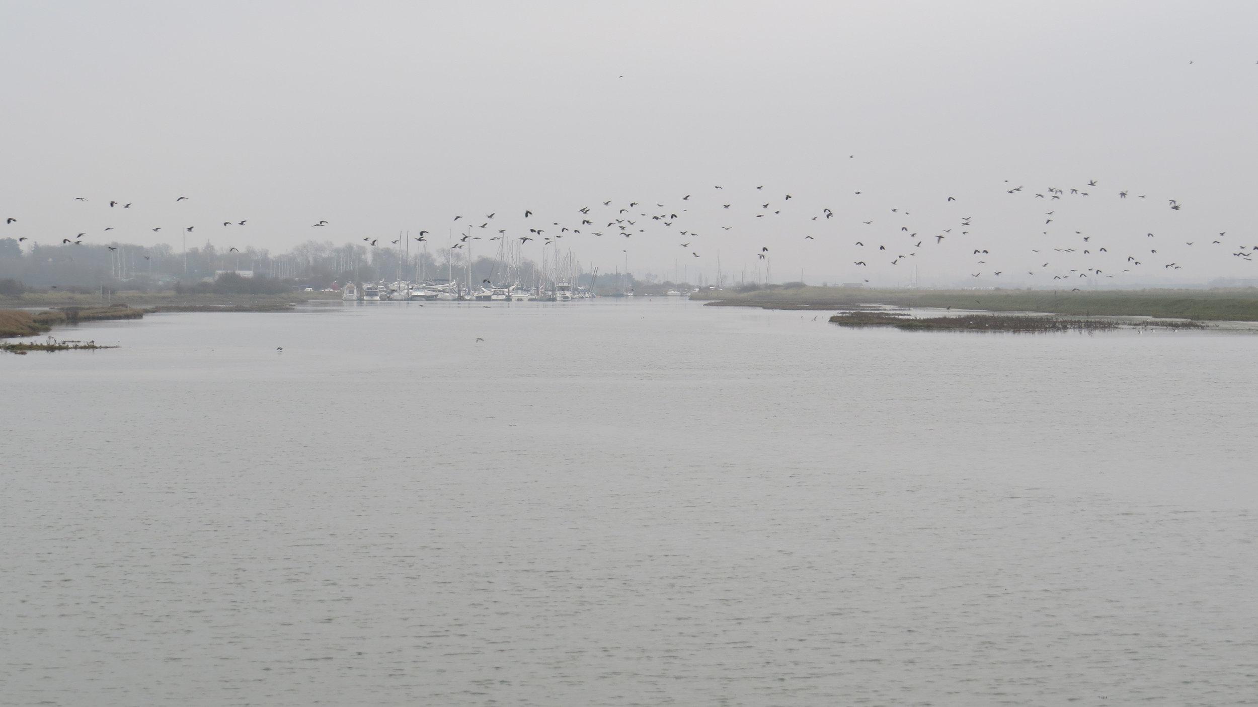 Geese Flocking