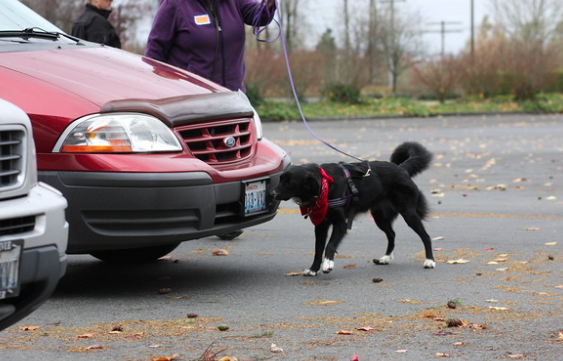 Nose Work Trial event in Sequim, Port Angeles, Port Townsend- Sniff and Go at Gardiner Community Center.