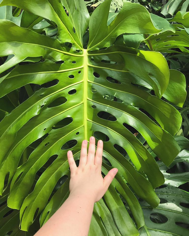 A new leaf from a mature  Monstera deliciosa  plant.