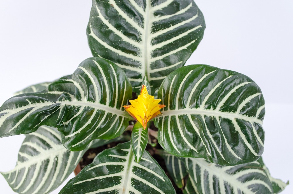 "The zebra plant is also referred to as a ""saffron spike"" due to it's unique golden-yellow blooms."