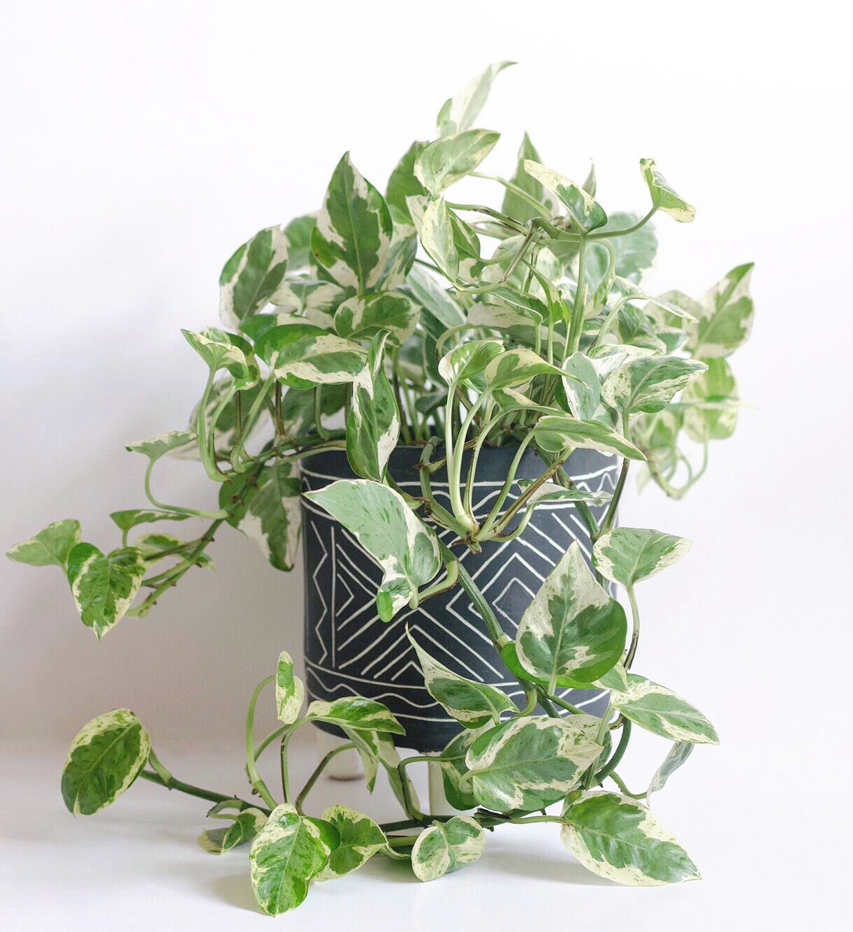 Epipremnum aureum  'Pearls and Jade' is a popular choice and fast grower.