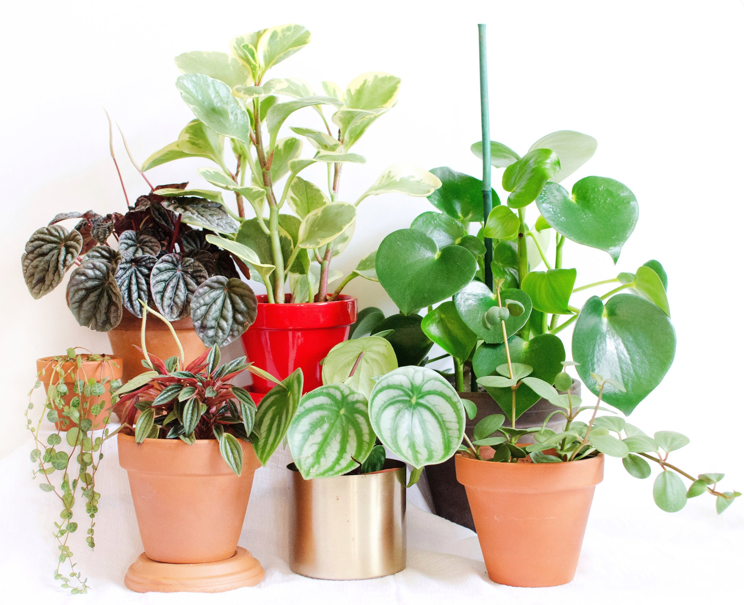 Clockwise from middle left:  Peperomia prostrata  (small trailing sp.),  P. caperata  'Red Ripple',  P. obtusifolia ,  P. polybotrya ,  P.  'Hope',  P. argyreia,   P. caperata  'Rosso'