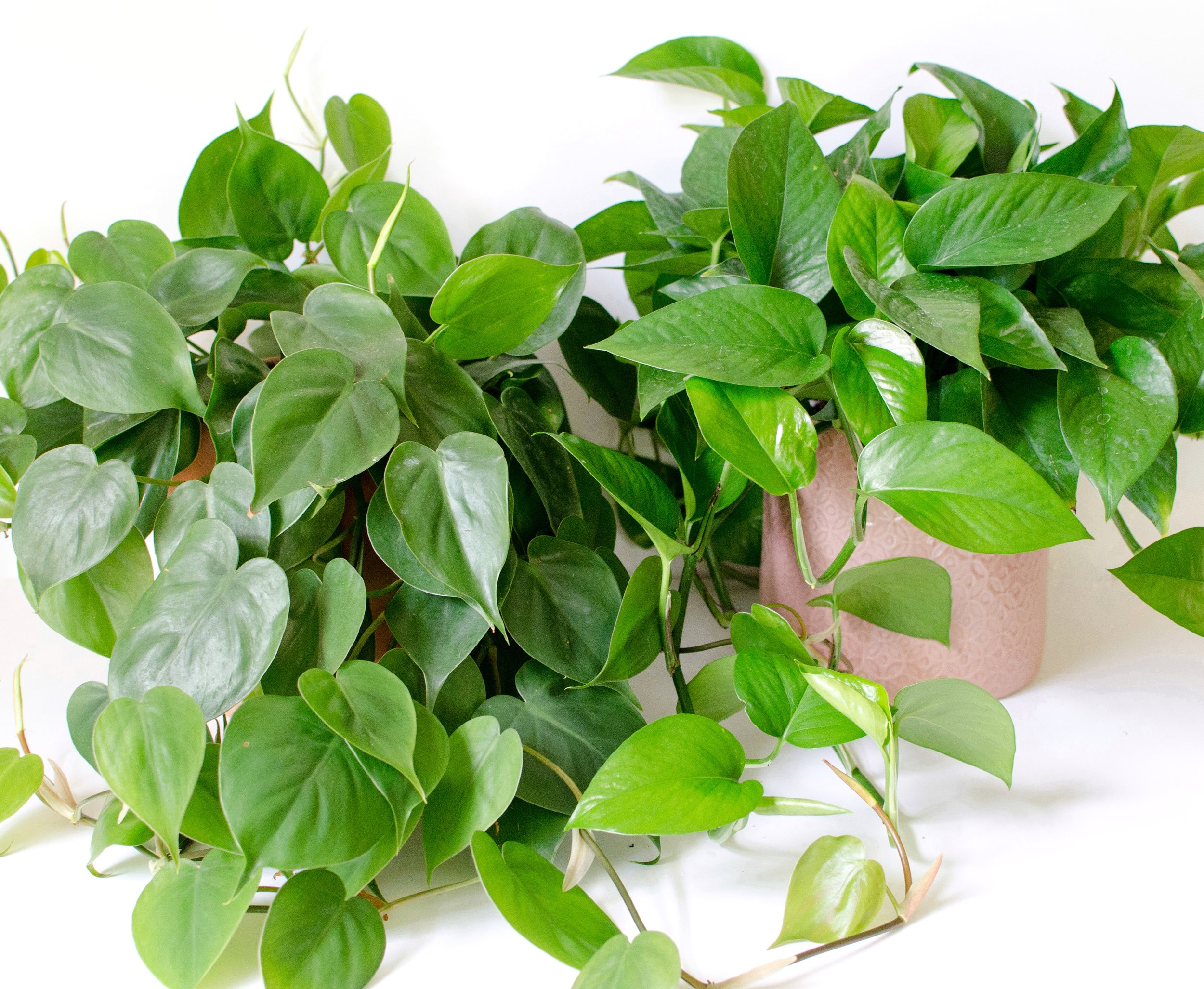 Know your plants: how to tell the difference between a ... White And Green Leaves House Plant Identification on epipremnum pothos house plant, serene peace plant, white calla lily plants, potted white azalea plant, white and green leaves weed,