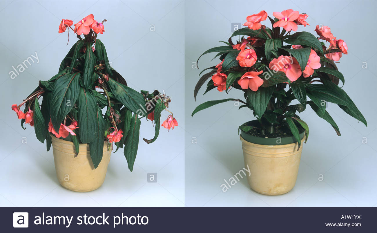 Stock photo showing a plant before and after watering. In the first photo, the leaves are droopy/wilted and soft, and in the second photo after watering, the plant stands tall and firm.