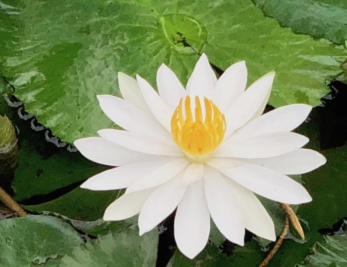 Maya Lotus