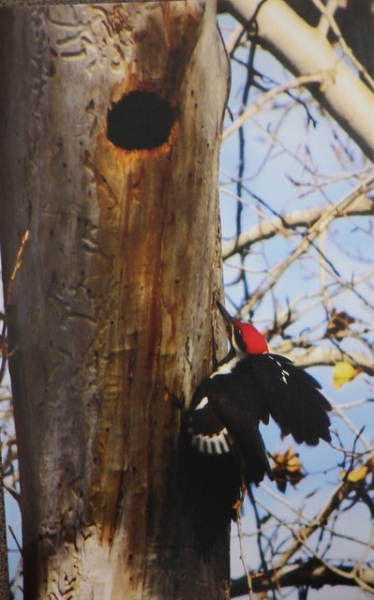 Woodpecker by Rod Daut (Photo) | $200