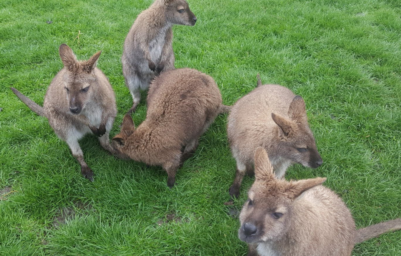 Wallabies, Waimate New Zealand