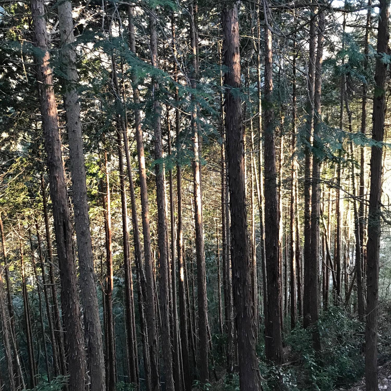 Fujino - stand of bamboo